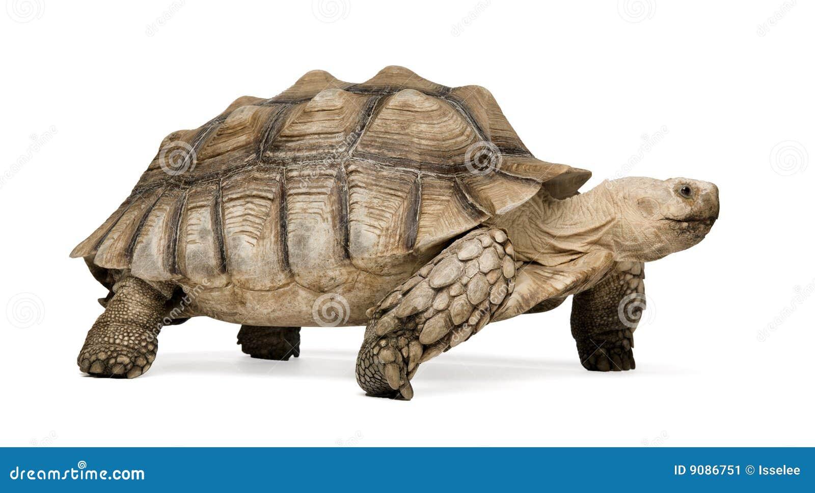Afrikanische angetriebene Schildkröte - Geochelone sulcata