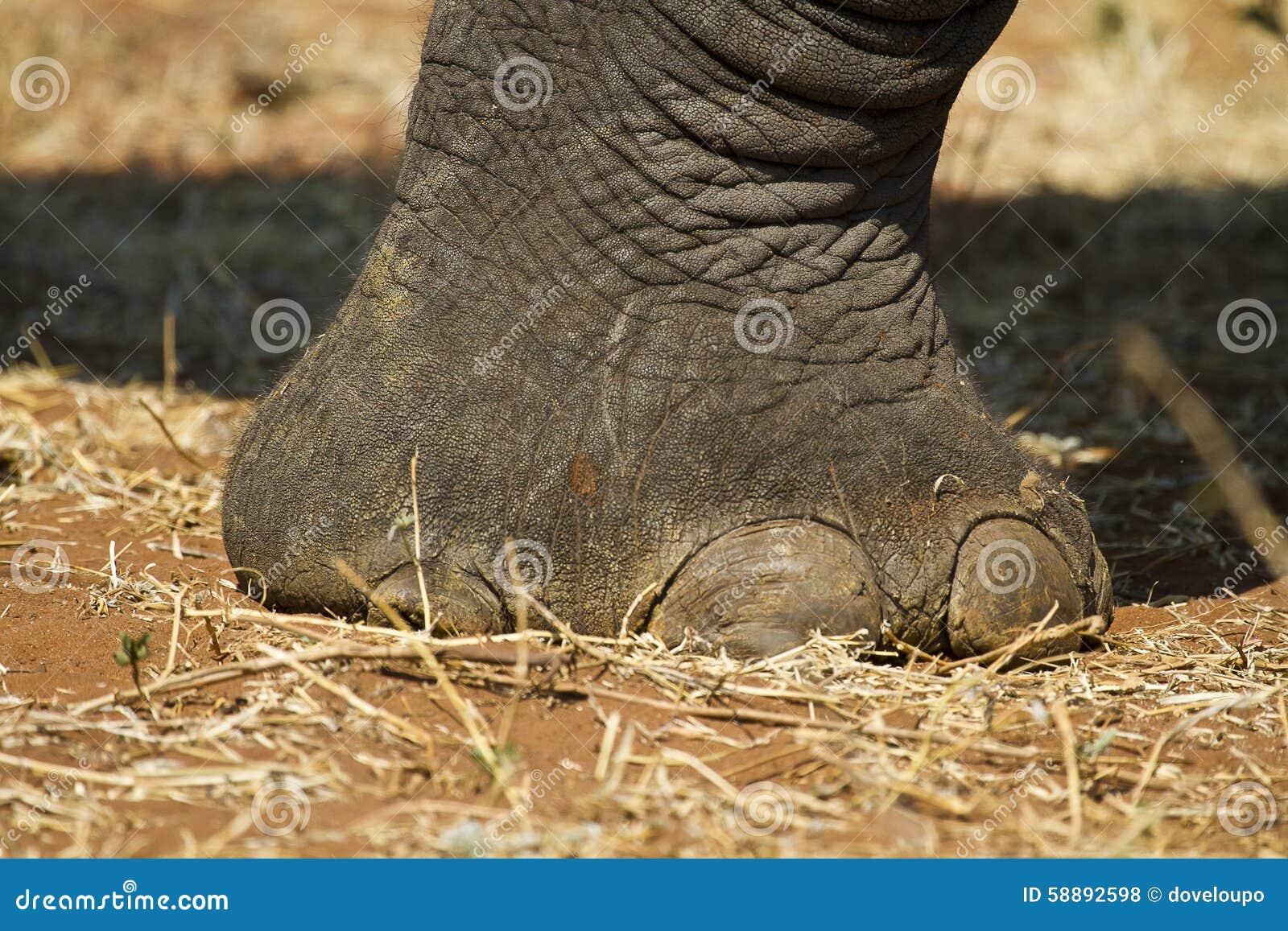 Afrikanische Elefant-Fuß stockfoto. Bild von botswana - 58892598