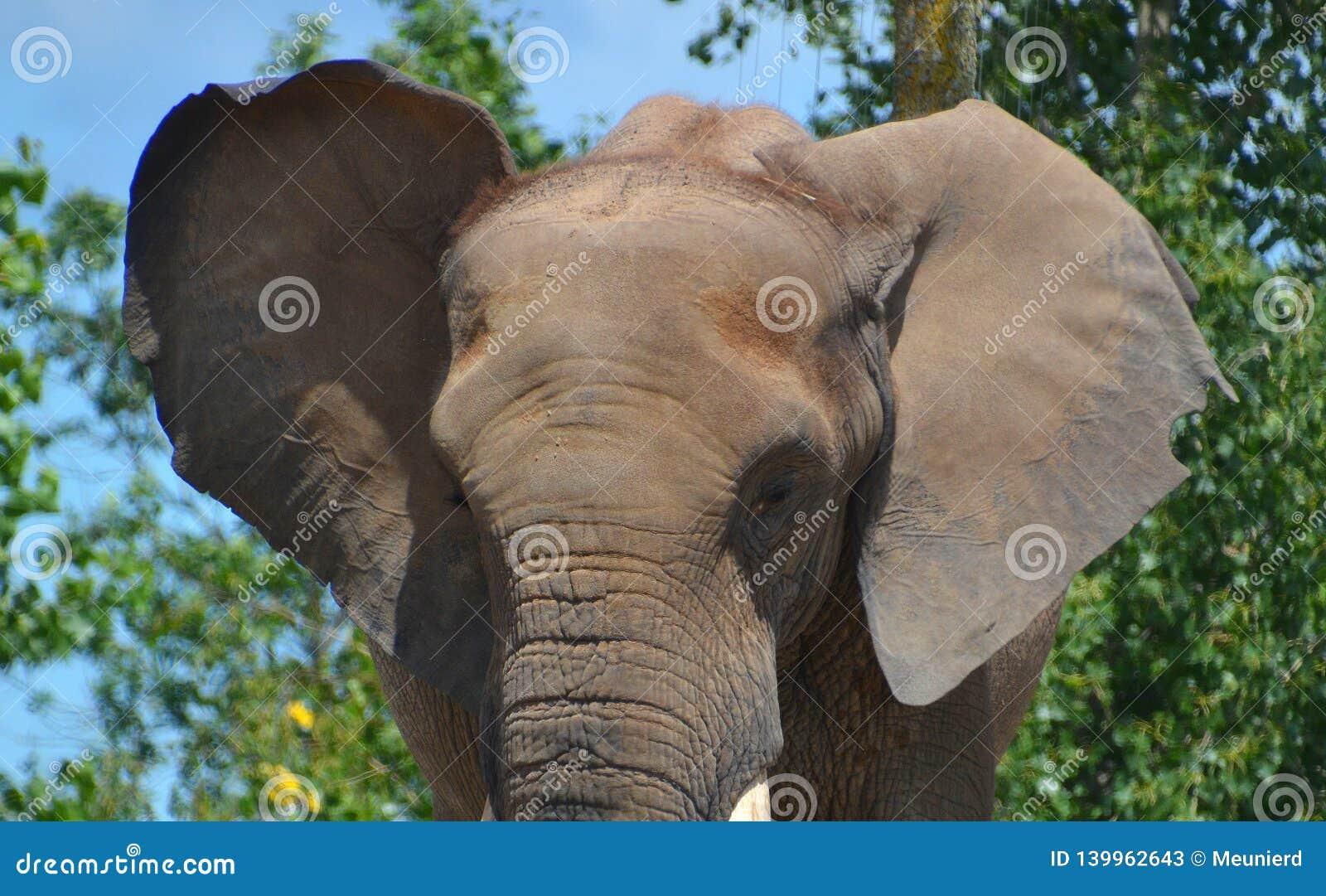 Afrikanische Elefanten sind Elefanten der Klasse Loxodonta
