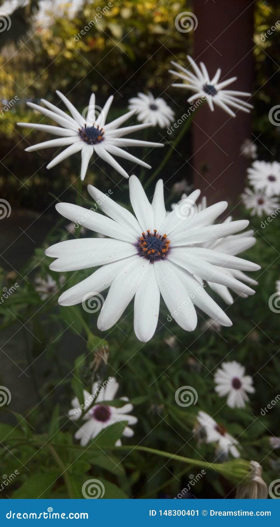 Afrikanische Gänseblümchen blühen