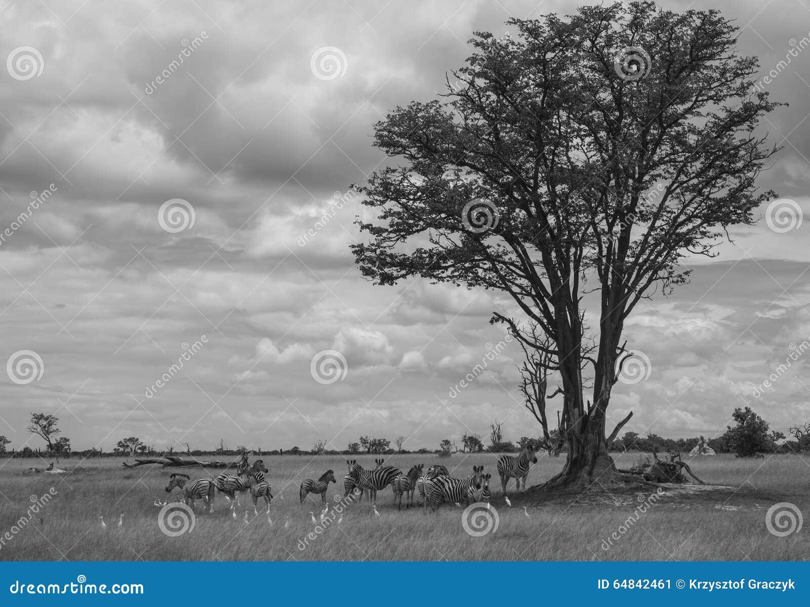 Afrikanische Savanne mit Zebras