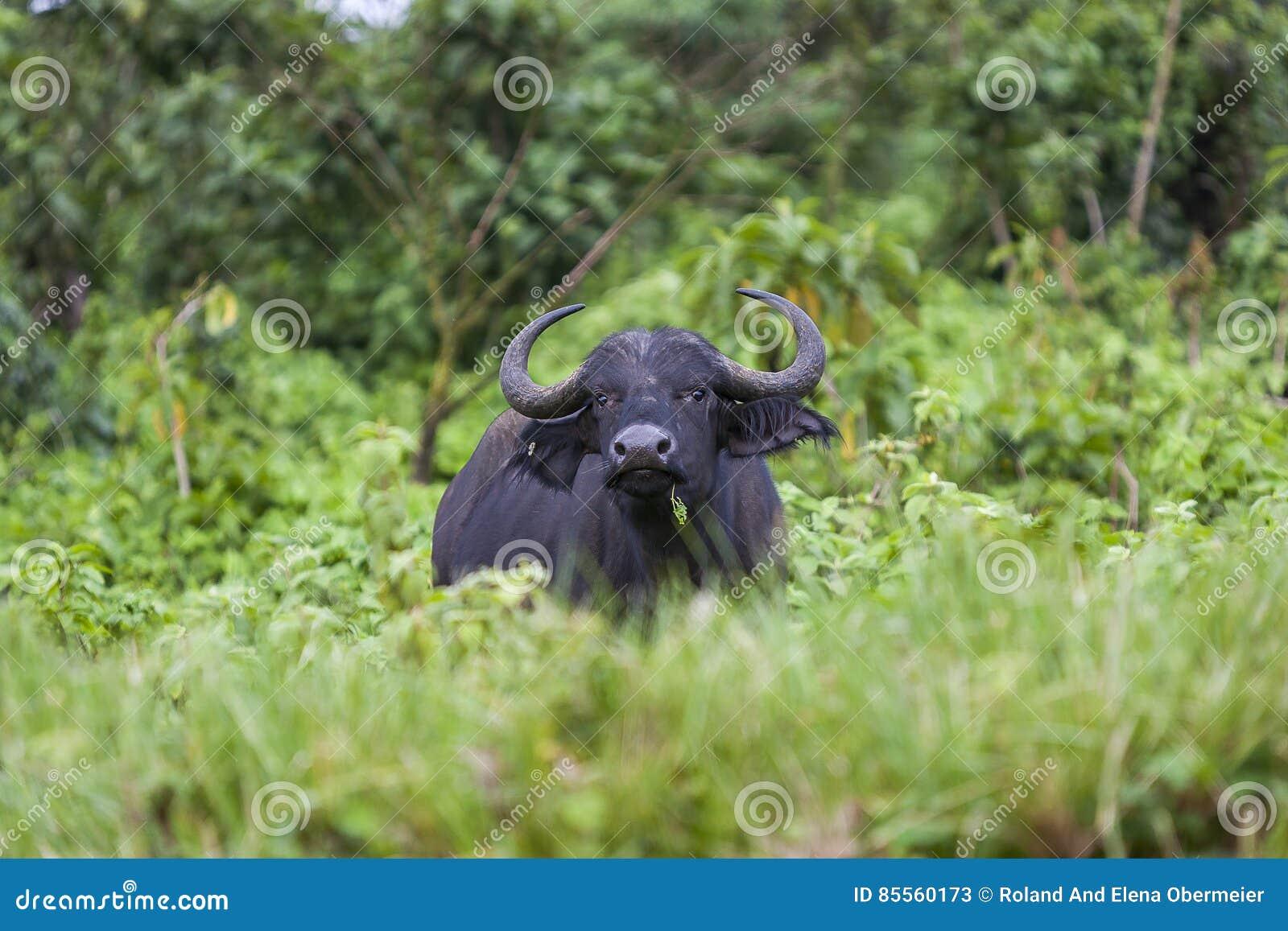 Afrikanischer Büffel nahe Ngorongoro-Krater