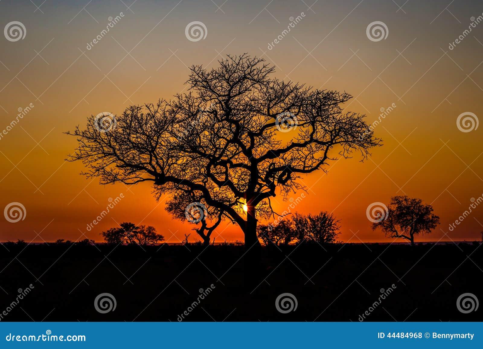 Afrikanischer Baum am Sonnenuntergang