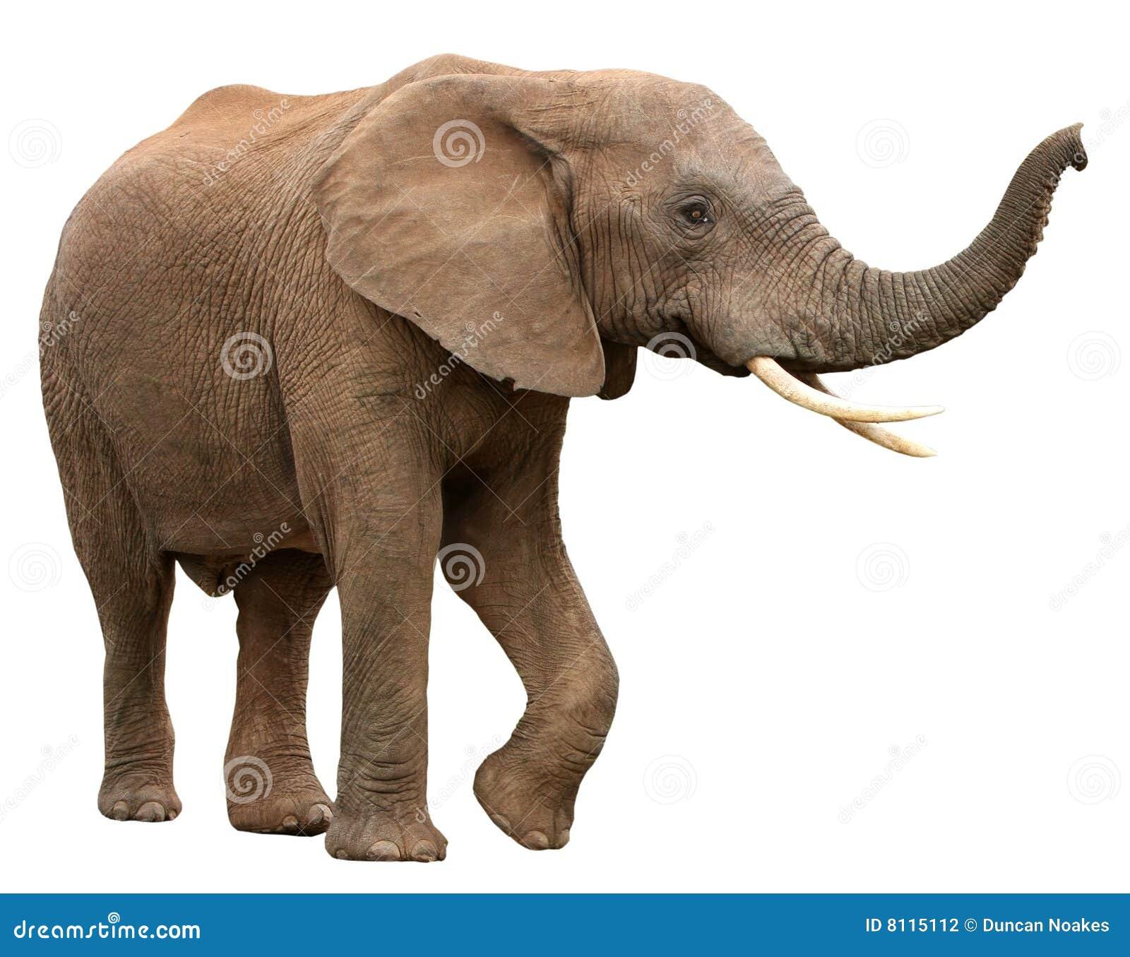 Afrikanischer Elefant getrennt auf Weiß