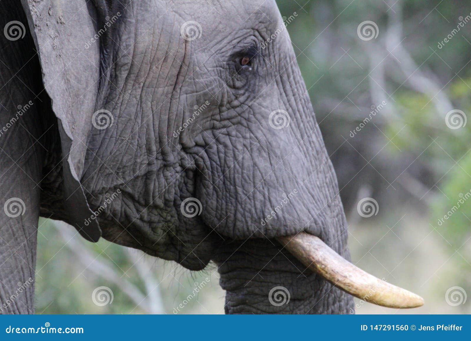 Afrikanischer Elefant in Kruger Nationalpark