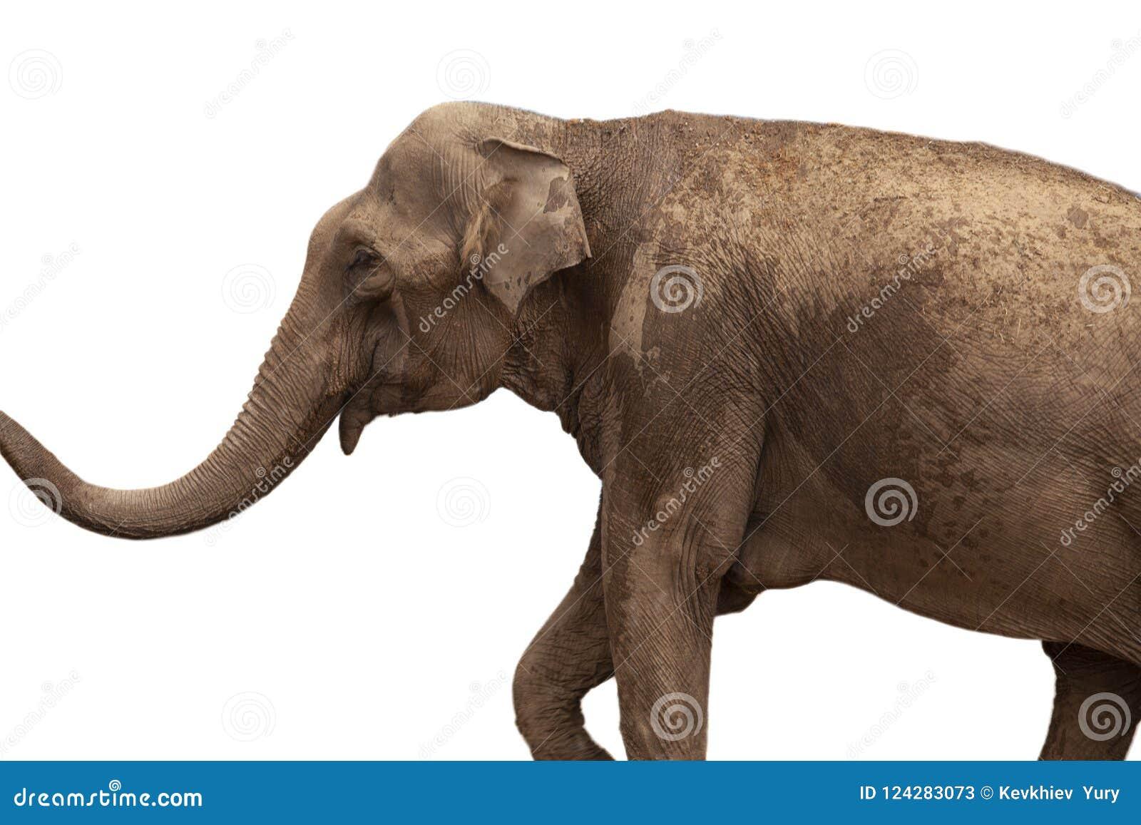 Afrikanischer Elefant lokalisiert auf weißem Hintergrund