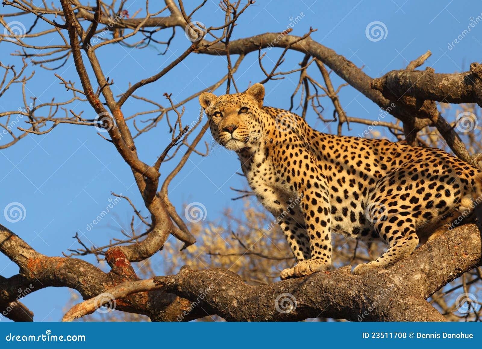 afrikanischer leopard im baum stockfoto bild 23511700. Black Bedroom Furniture Sets. Home Design Ideas