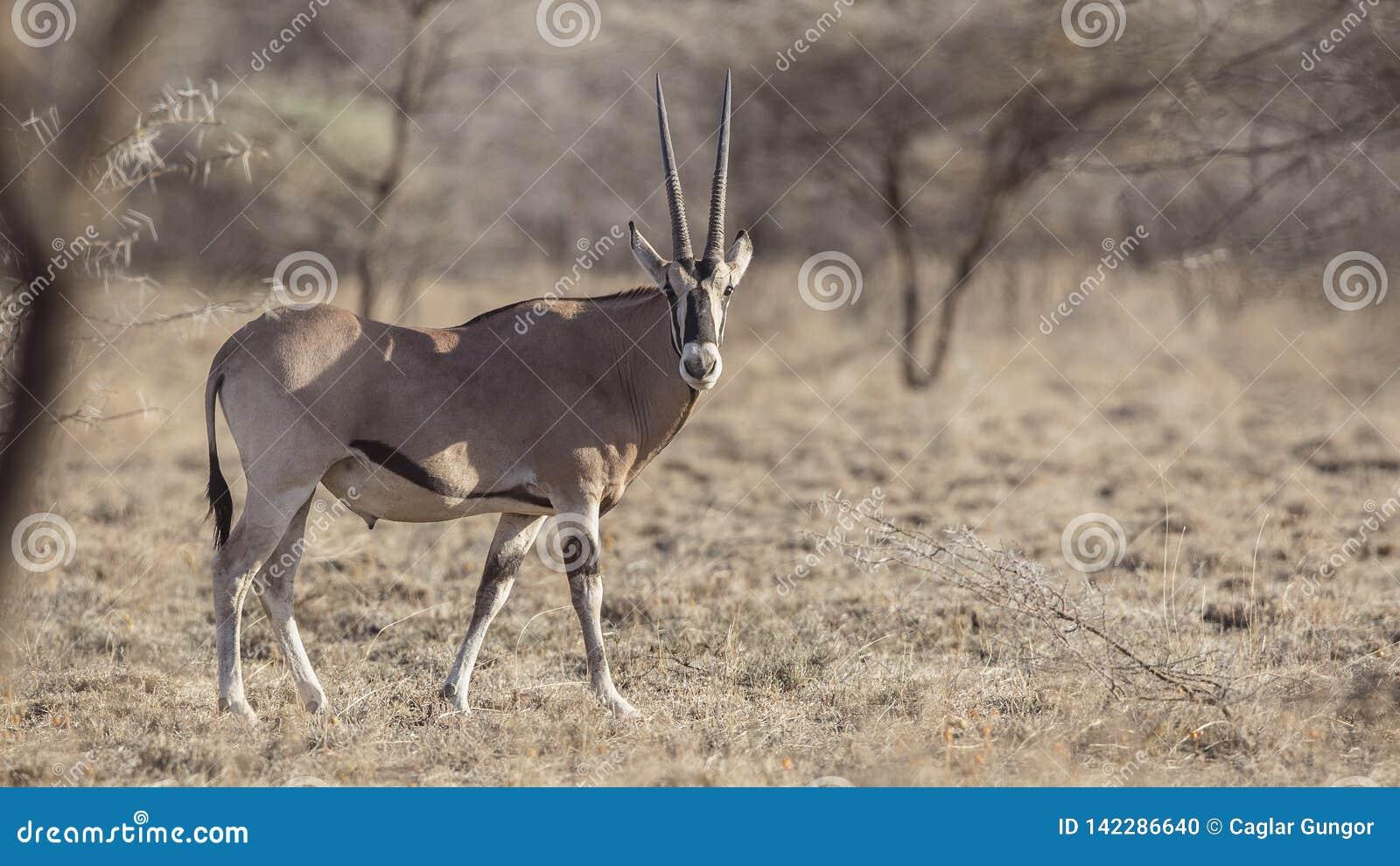 Afrikanischer Ostoryx in der Natur