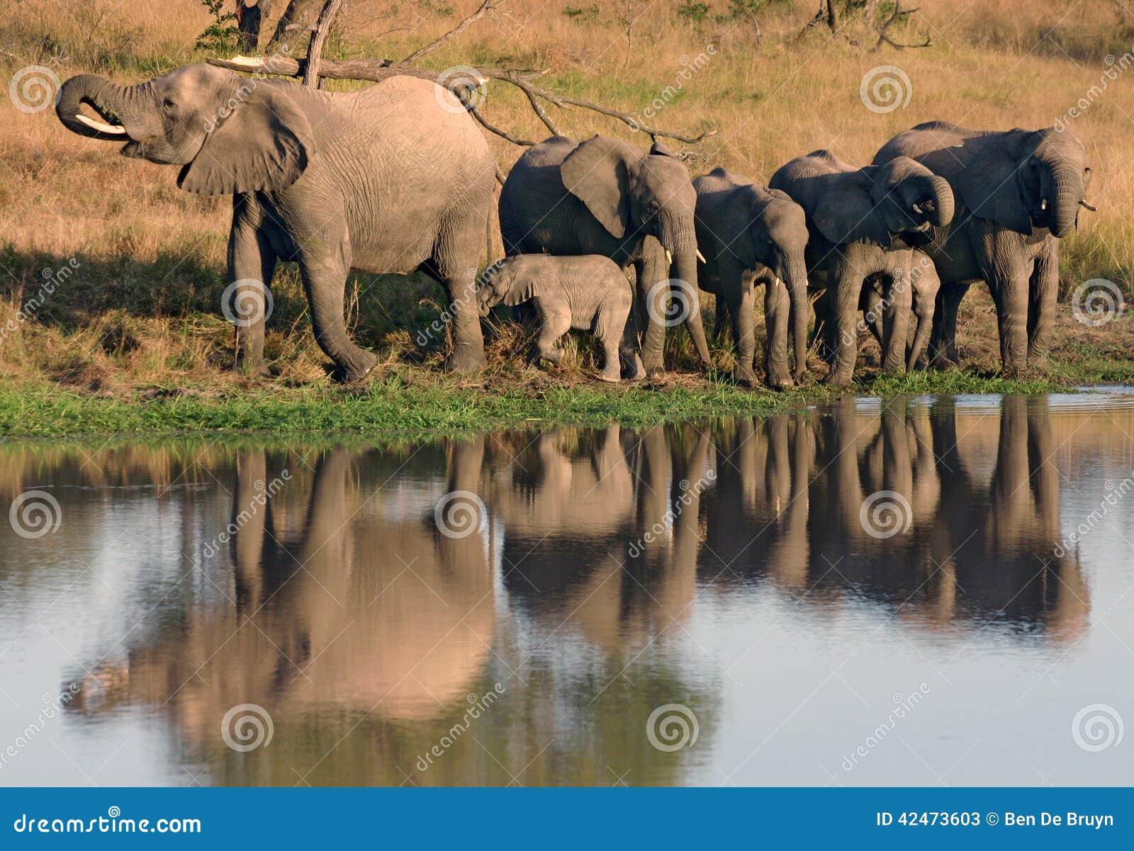 Afrikanisches Elefanttrinken und -kalb am waterhole