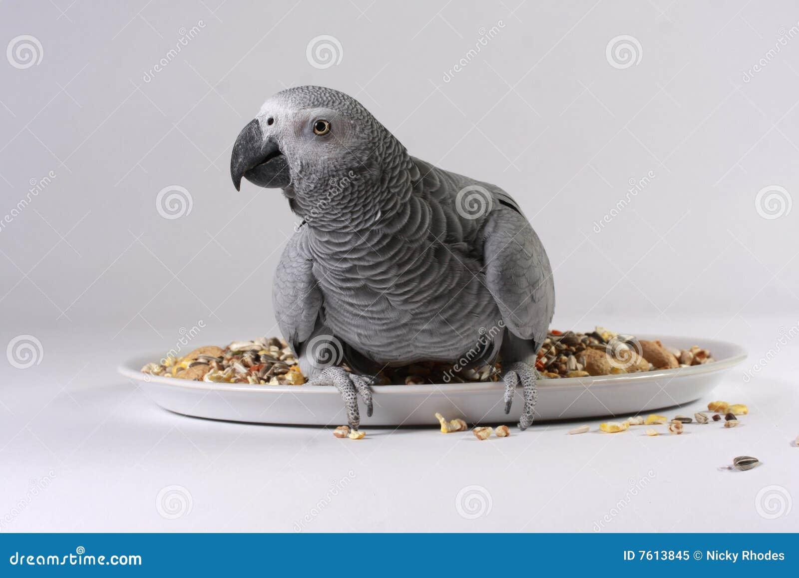 Afrikanisches Grau-Papagei mit Startwert für Zufallsgenerator
