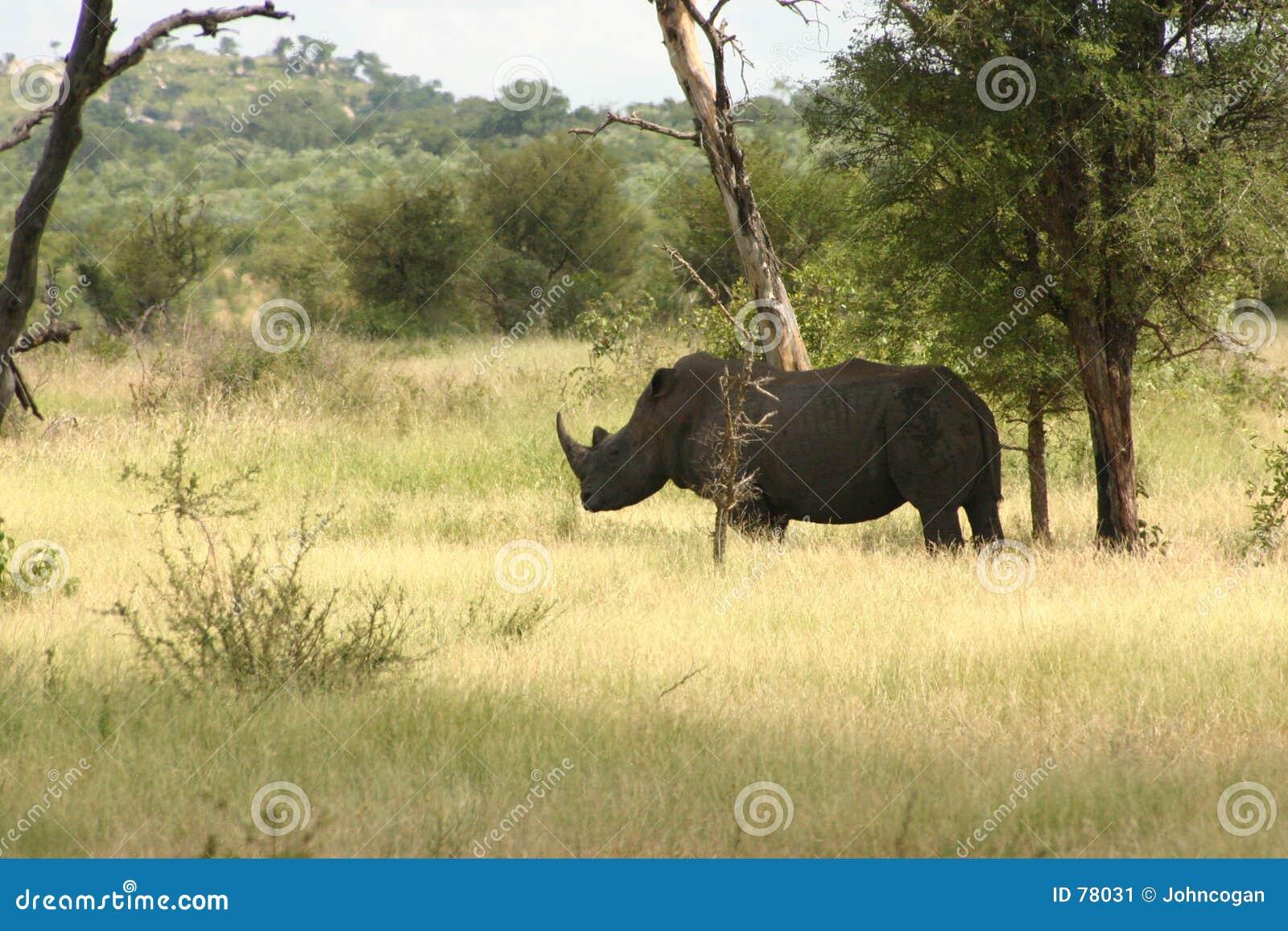 Afrikanisches Nashorn