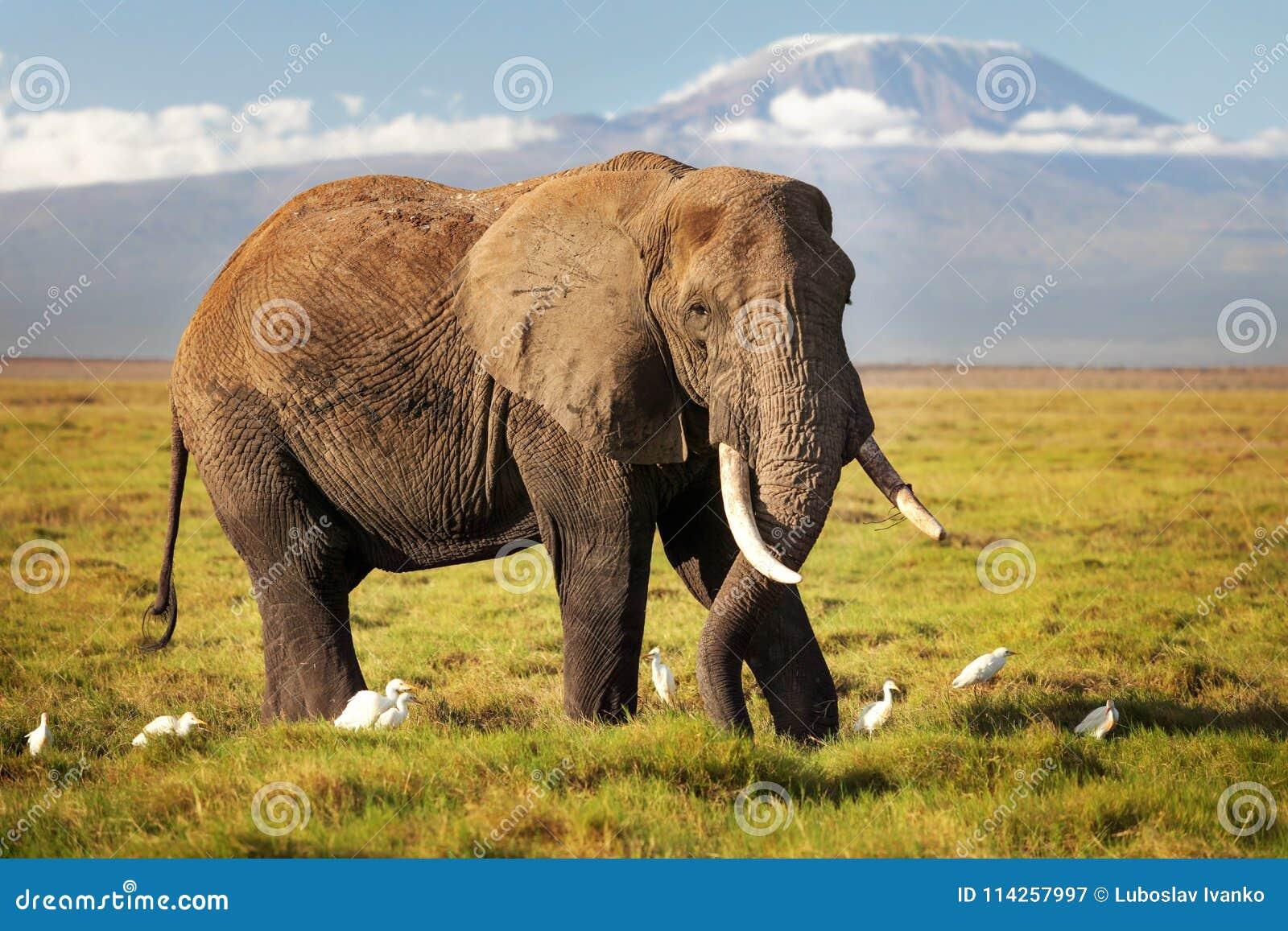 Afrikansk africana för buskeelefantLoxodonta som går på savann, w