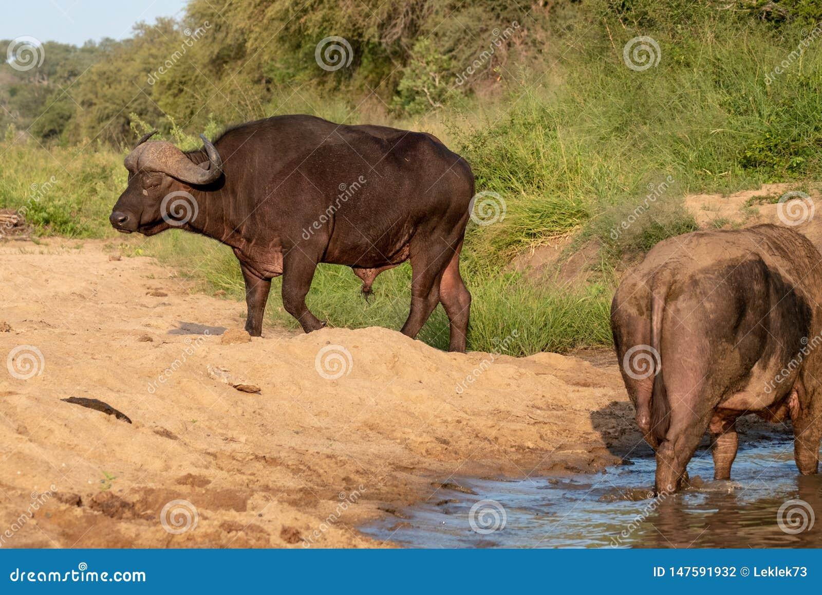 Afrikansk buffel vid vattnet i solen f?r sen eftermiddag som fotograferas p? den Kruger nationalparken i Sydafrika