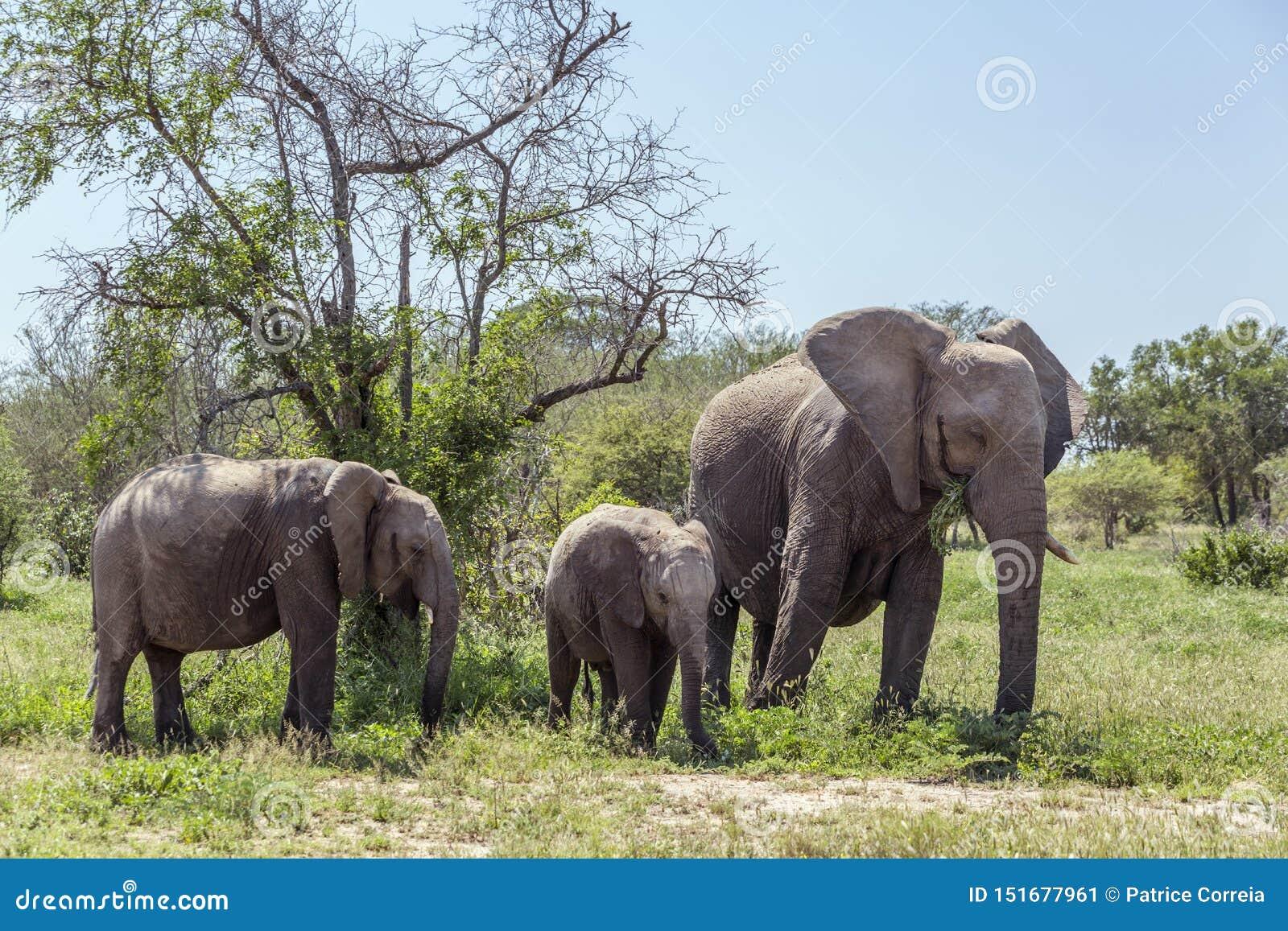 Afrikansk buskeelefant i den Kruger nationalparken, Sydafrika