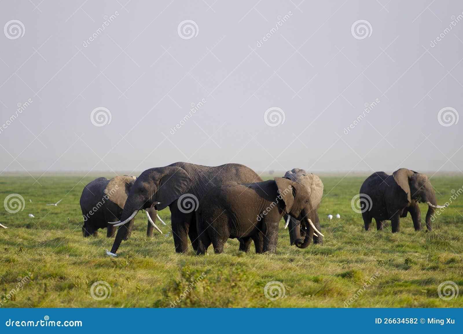 Afrikansk elefantfamilj