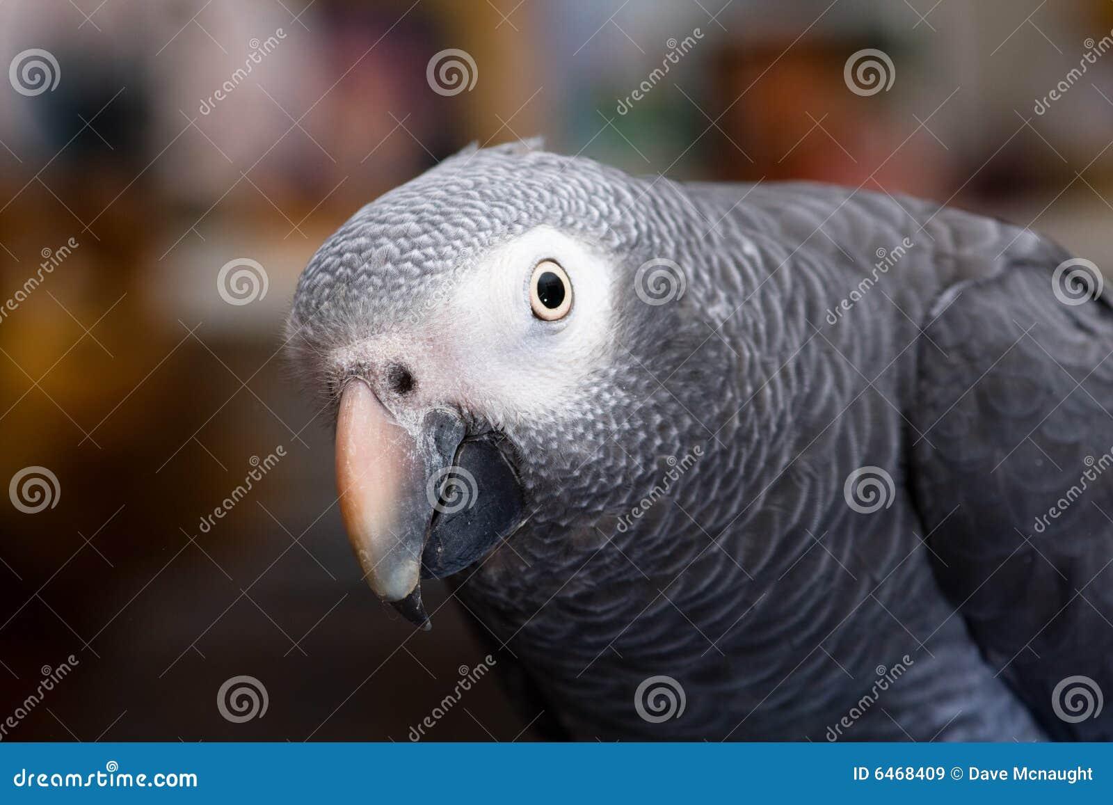 Afrikansk grey