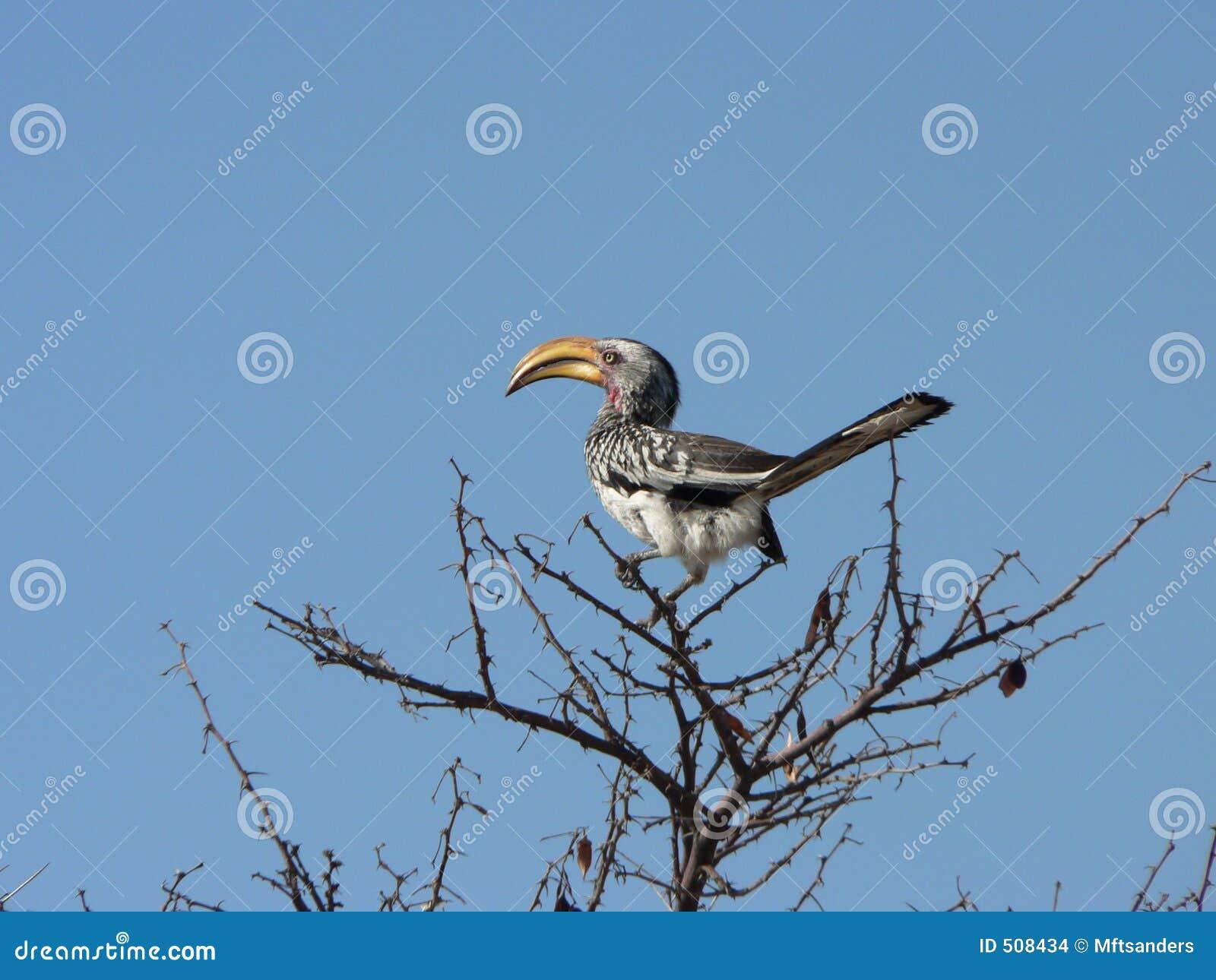 Afrikansk hornbill