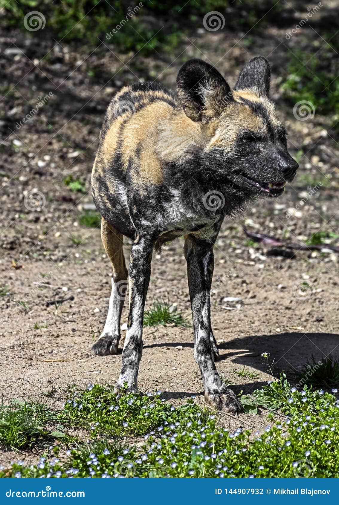 Afrikansk jaga hund 13