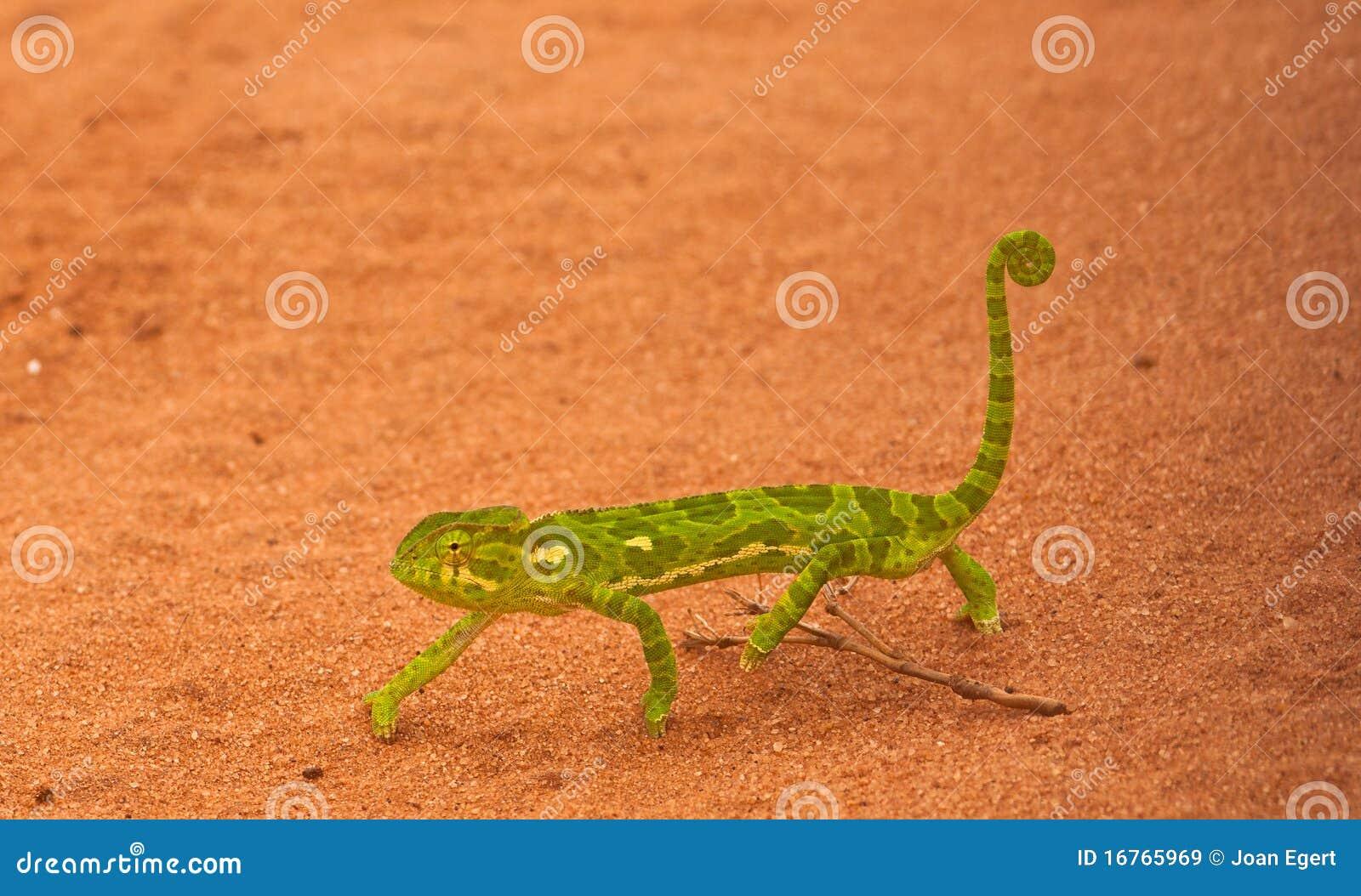 Afrikansk kameleont