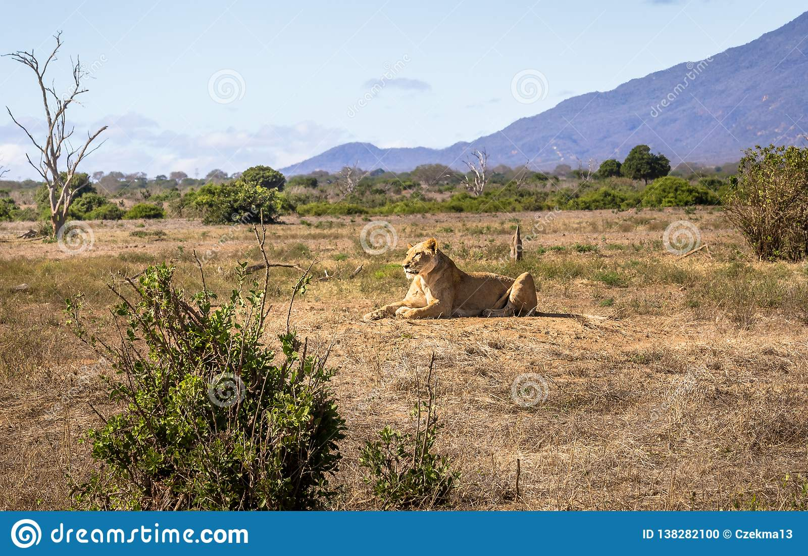 Afrikansk lejoninna i Kenya