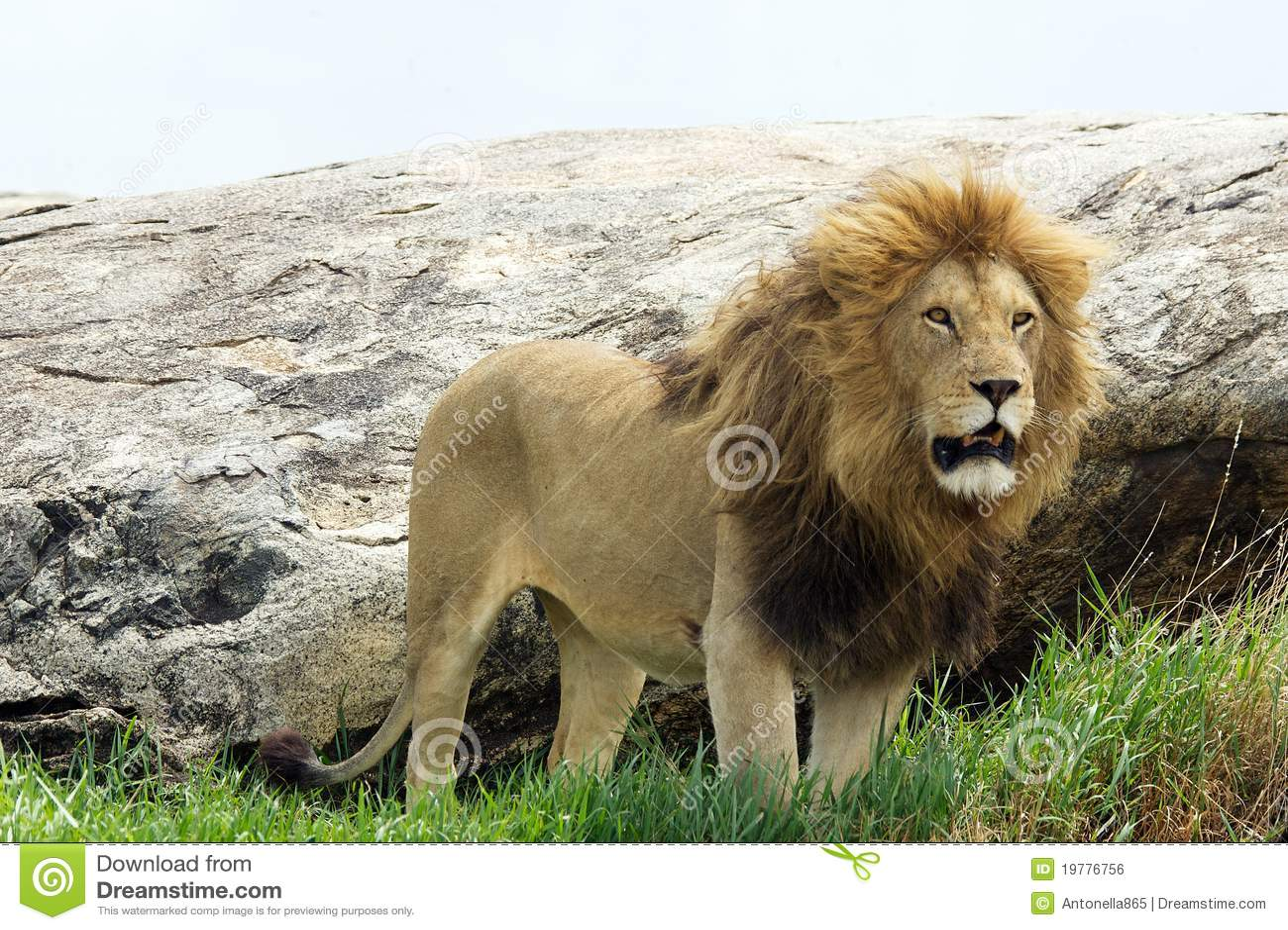 Afrikansk leo lionpanthera