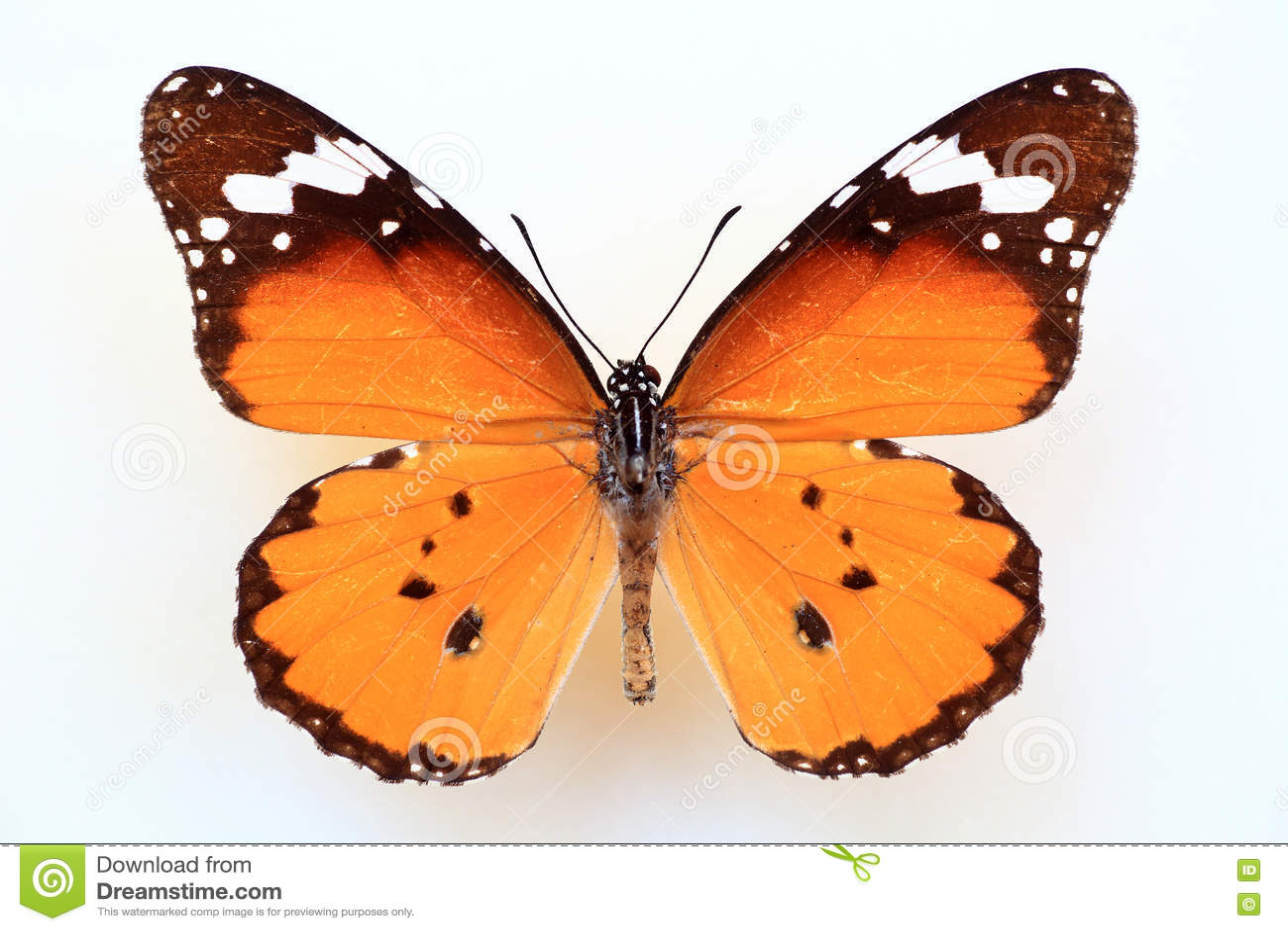 Afrikansk monark eller vanlig tiger