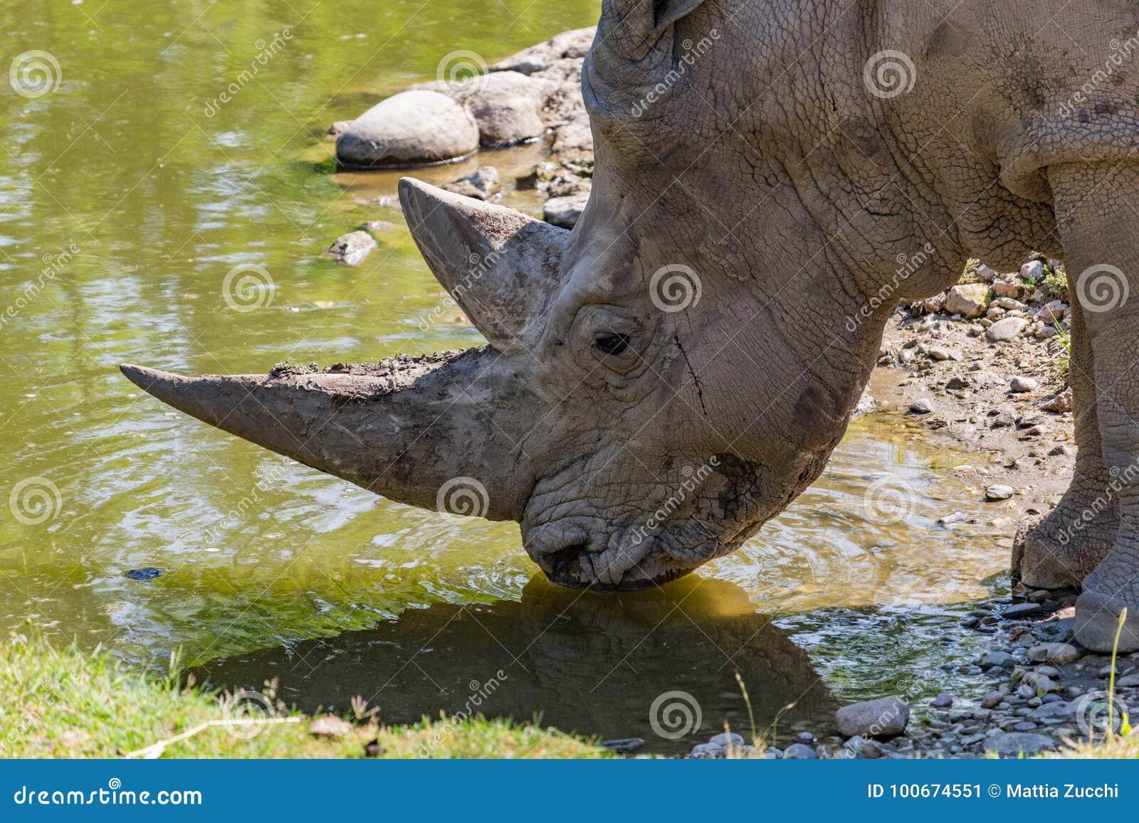 Afrikansk noshörningwhite