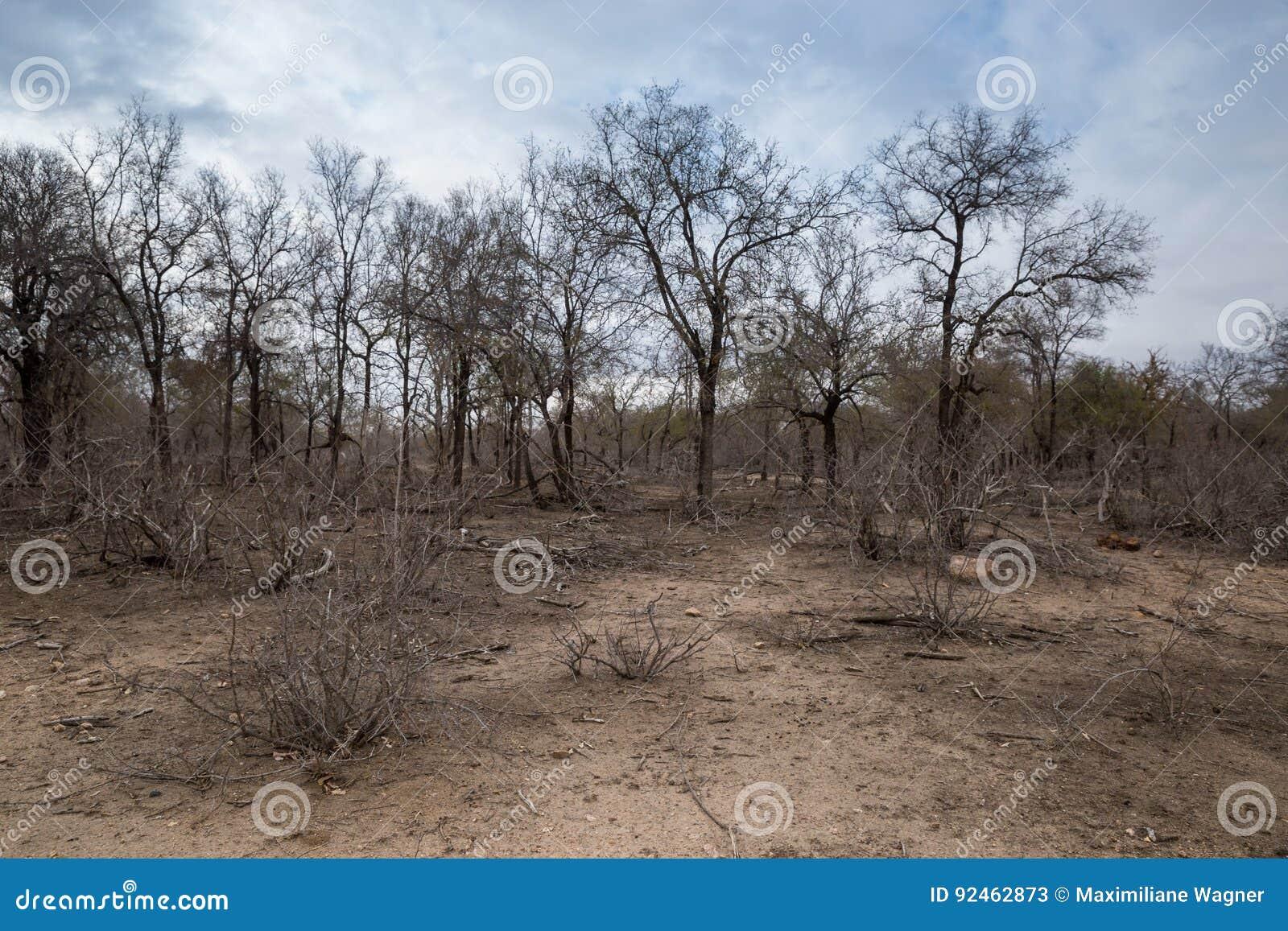 Afrikansk Savannah för torka med döda träd, Kruger, Sydafrika