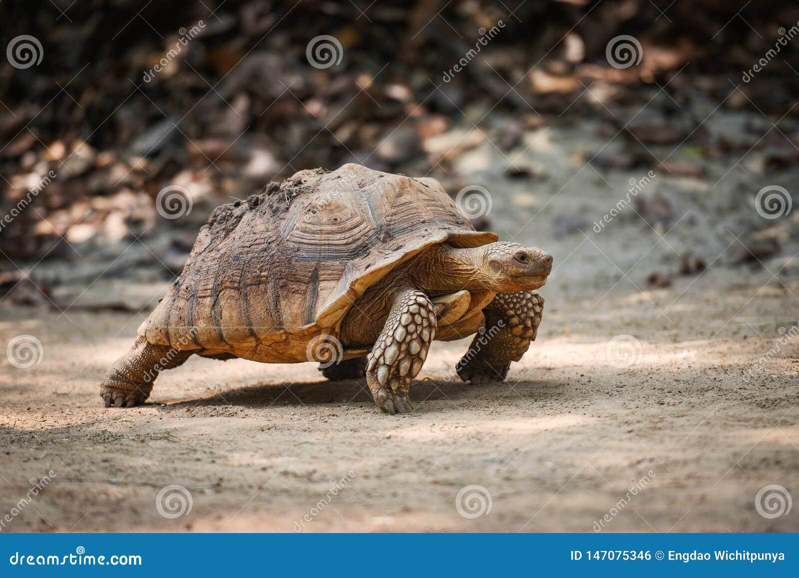Afrikansk sporrad sköldpadda/slut upp att gå för sköldpadda