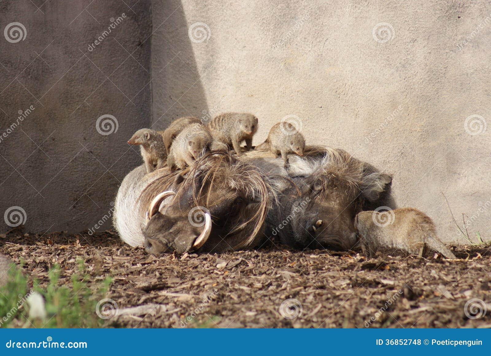 Afrikansk vårtsvin - Phacochoerusafricanus och Meerkats