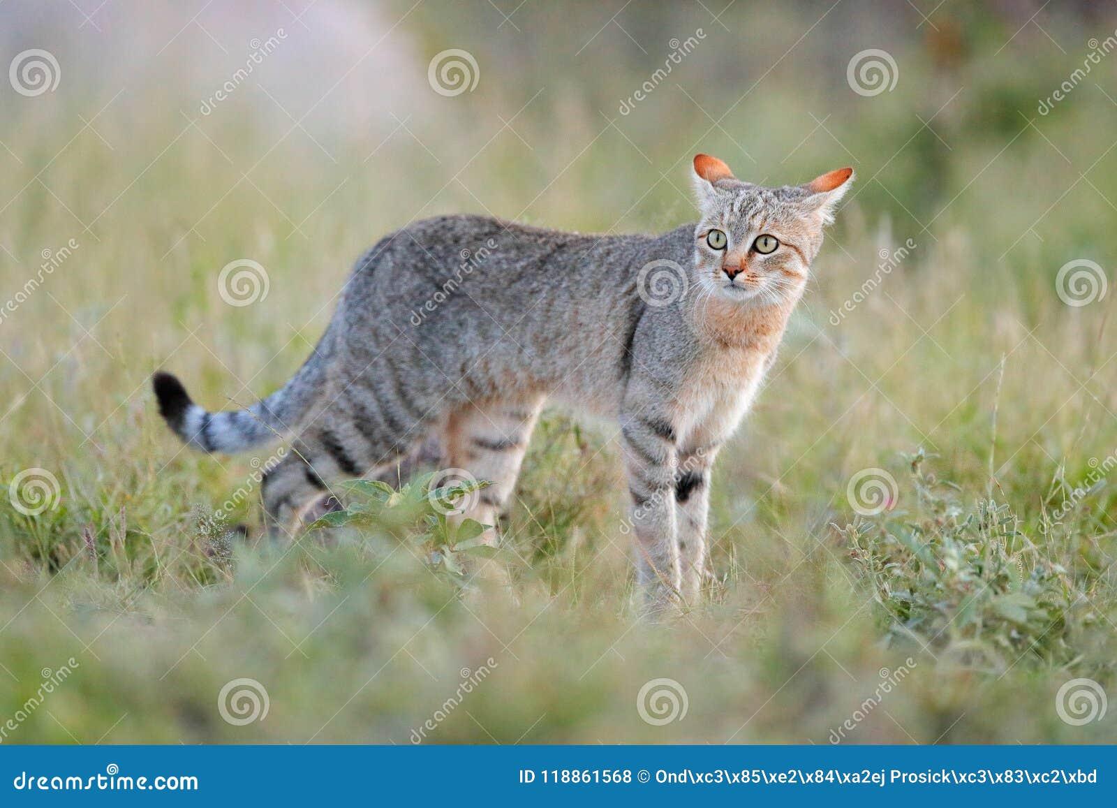 Afrikansk vildkatt, Felislybica, kallade också Near Östlig den lösa katten Löst djur i naturlivsmiljön, gräsäng Djurlivnatur Wi