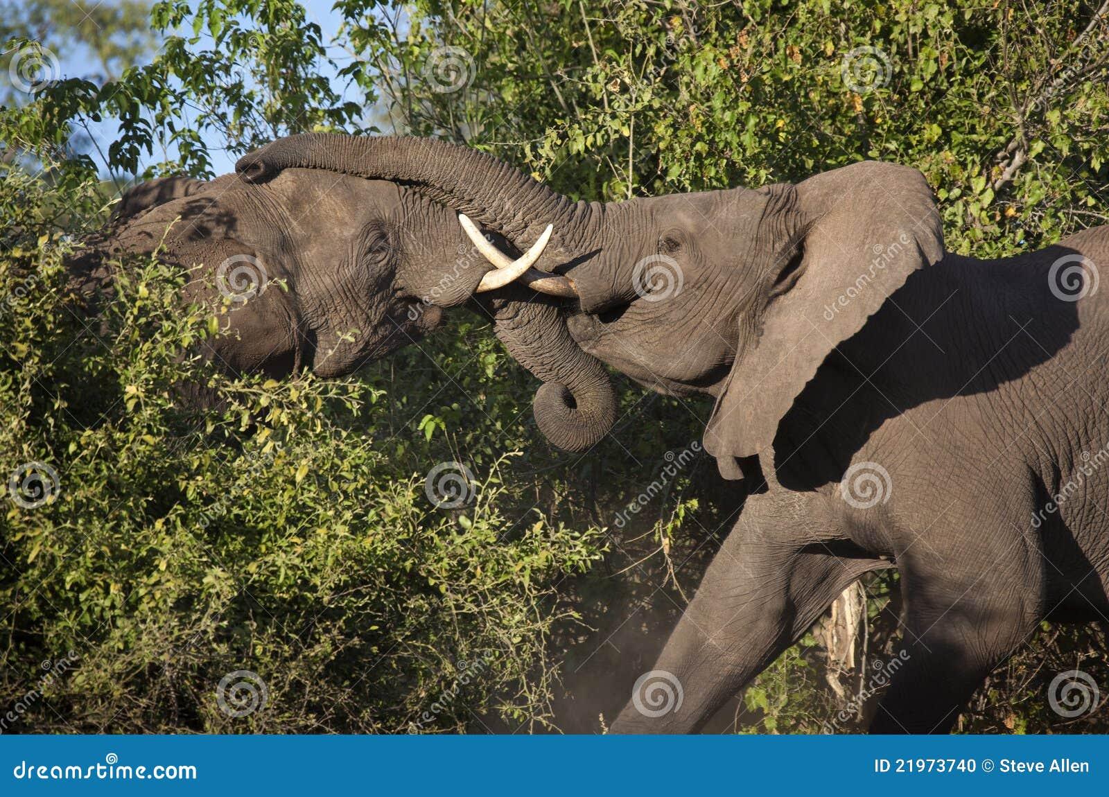 Afrikanska botswana elefanter