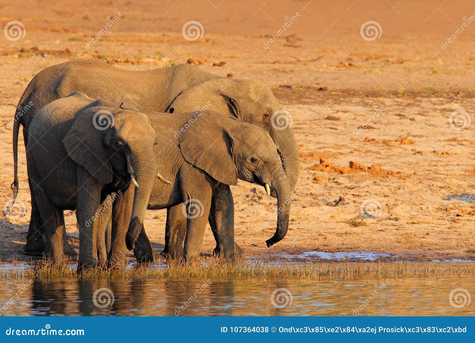 Afrikanska elefanter som dricker på en waterhole som lyfter deras stammar, Chobe nationalpark, Botswana, Afrika