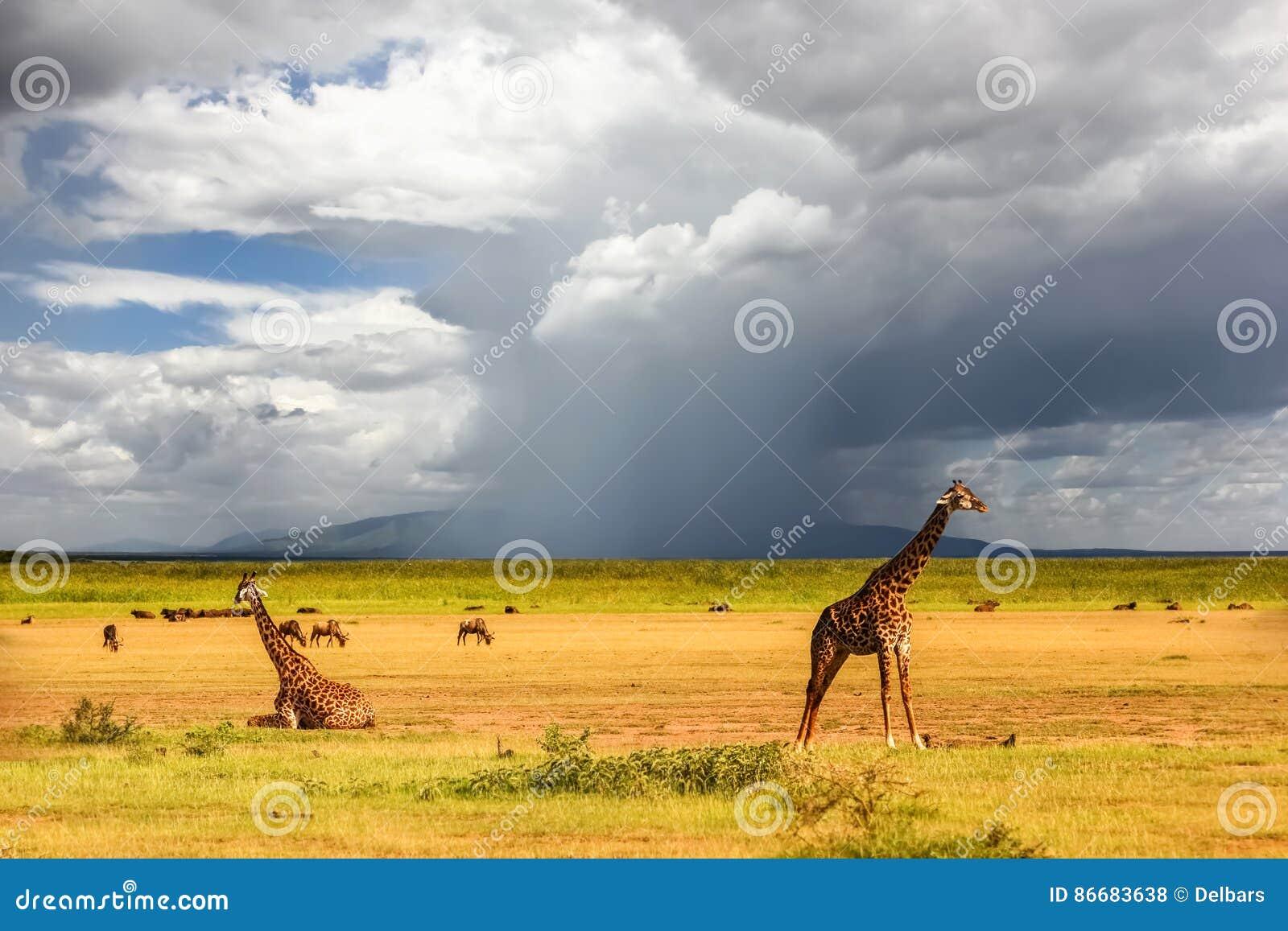 Afrikanska giraff på bakgrunden av en stormig himmel _ tanzania