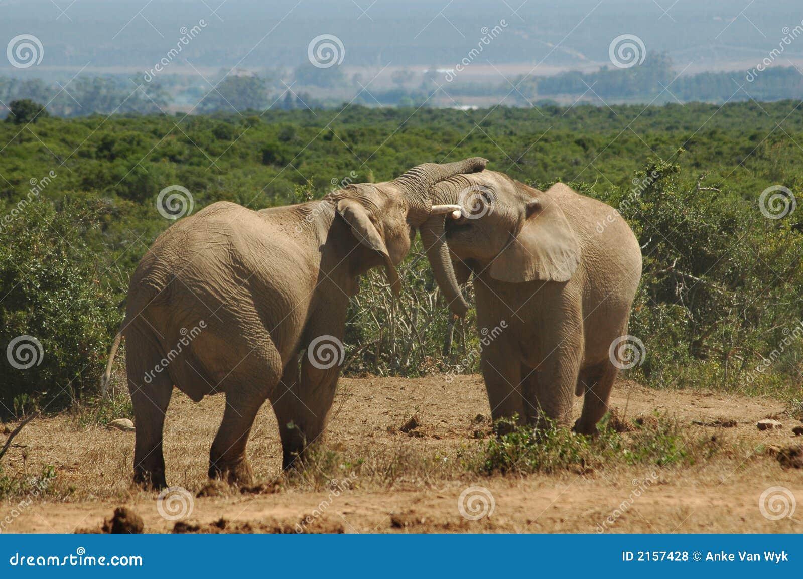Afrikanska tjurelefanter
