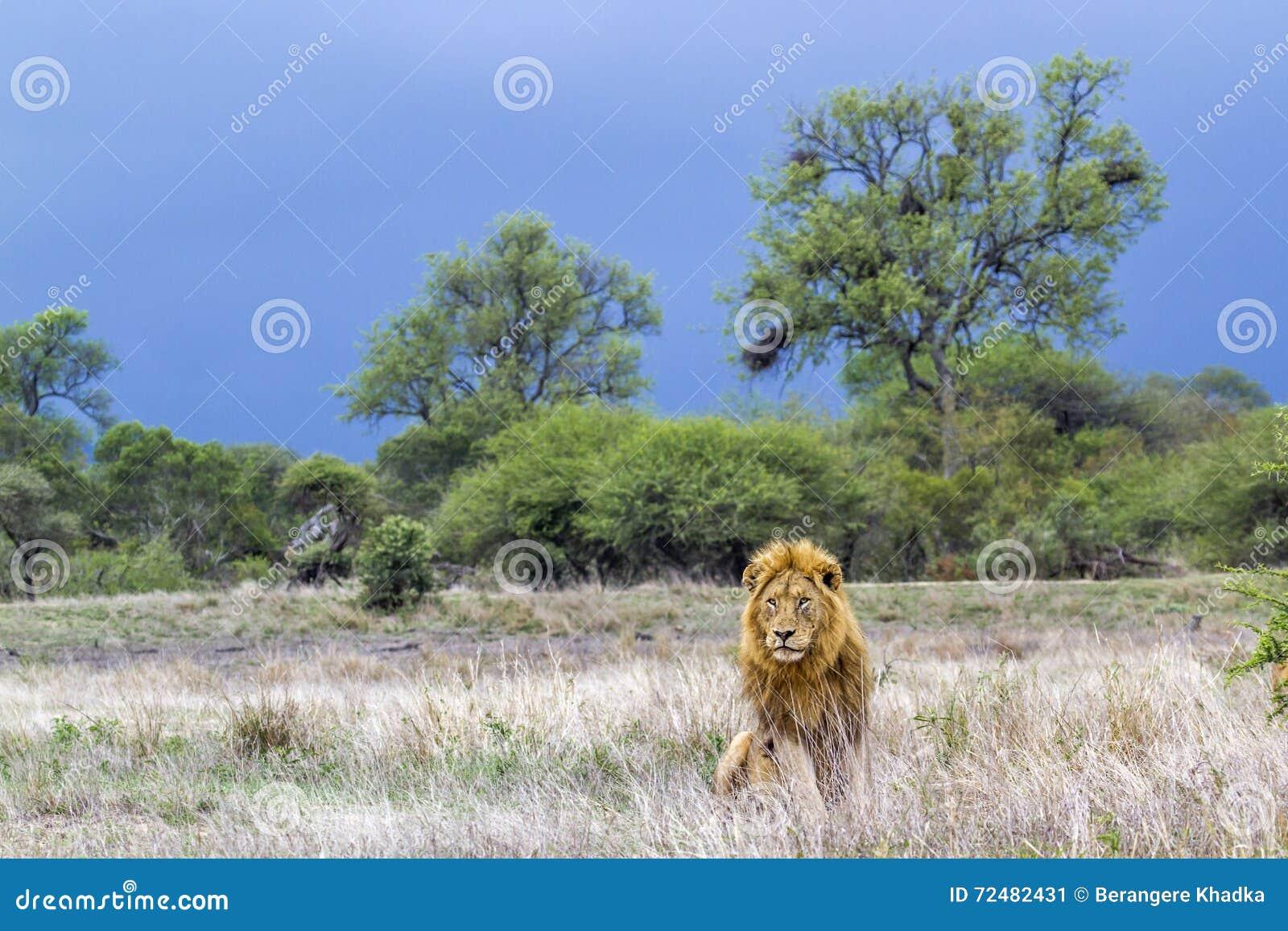 Afrikanskt lejon i den Kruger nationalparken, Sydafrika
