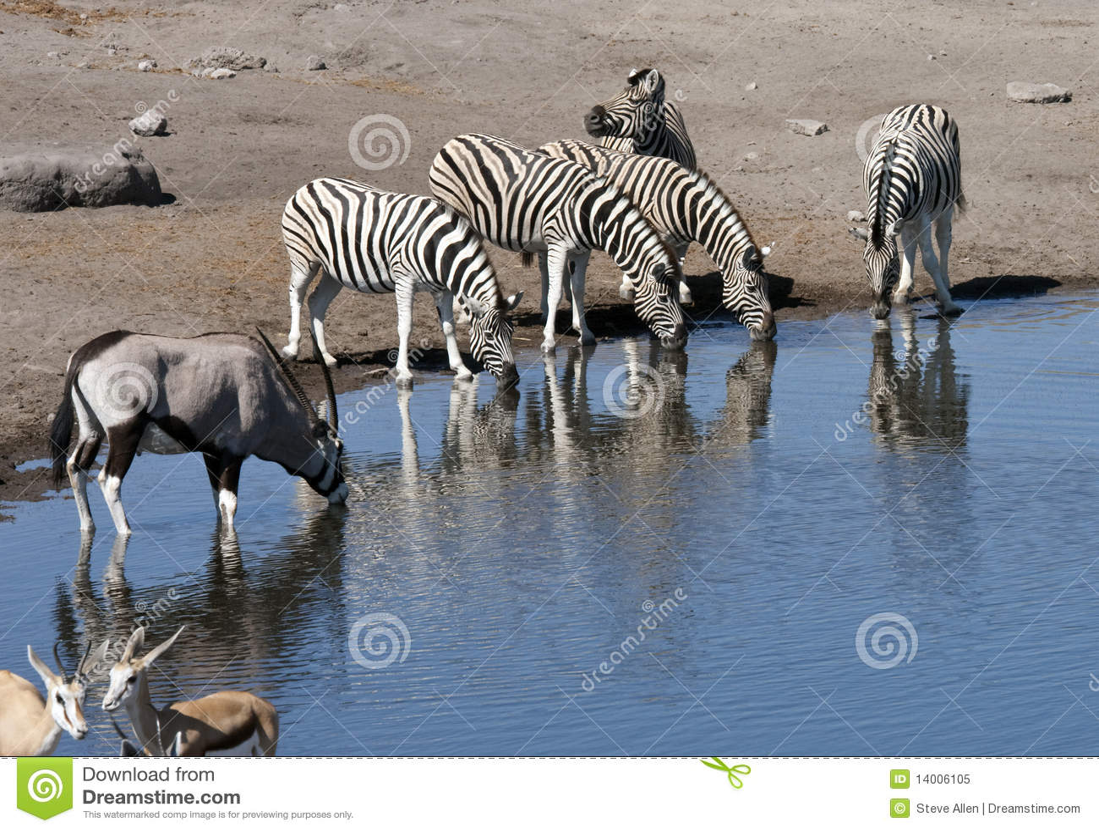 Afrikanskt namibia waterholedjurliv