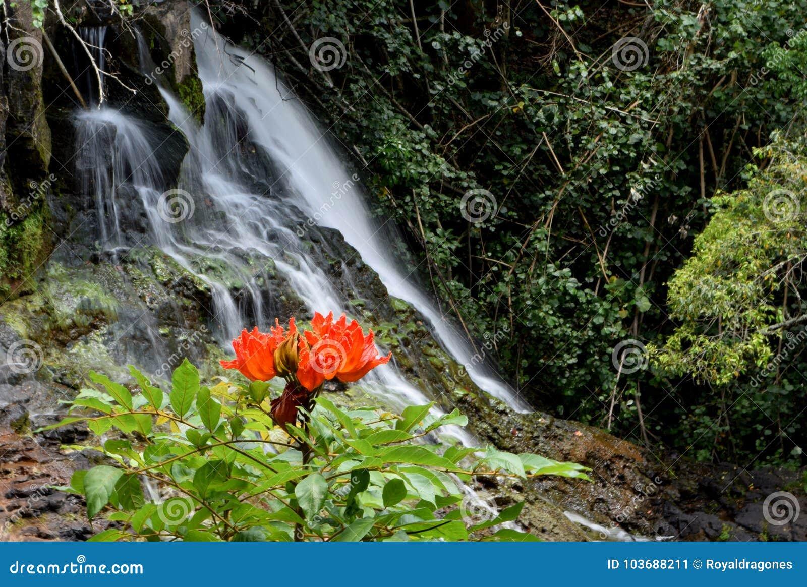 AfrikanTulip Tree blomma och vattenfall i Kauai Hawaii