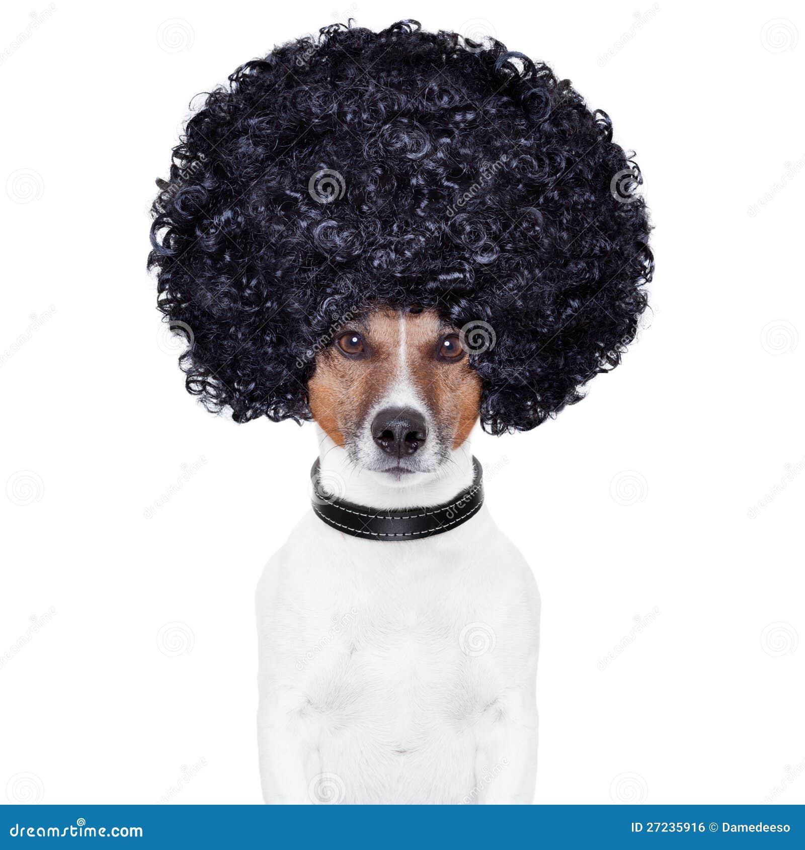 Afro spojrzenia włosy pies śmieszny