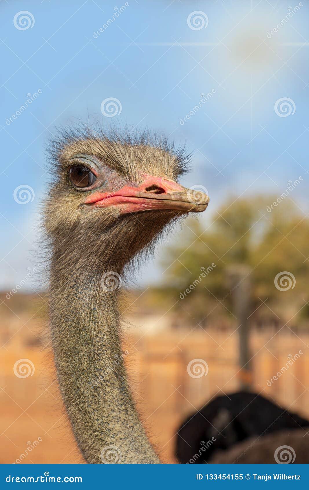 Afrricanstruisvogel die nieuwsgierig met blauwe hemel kijken