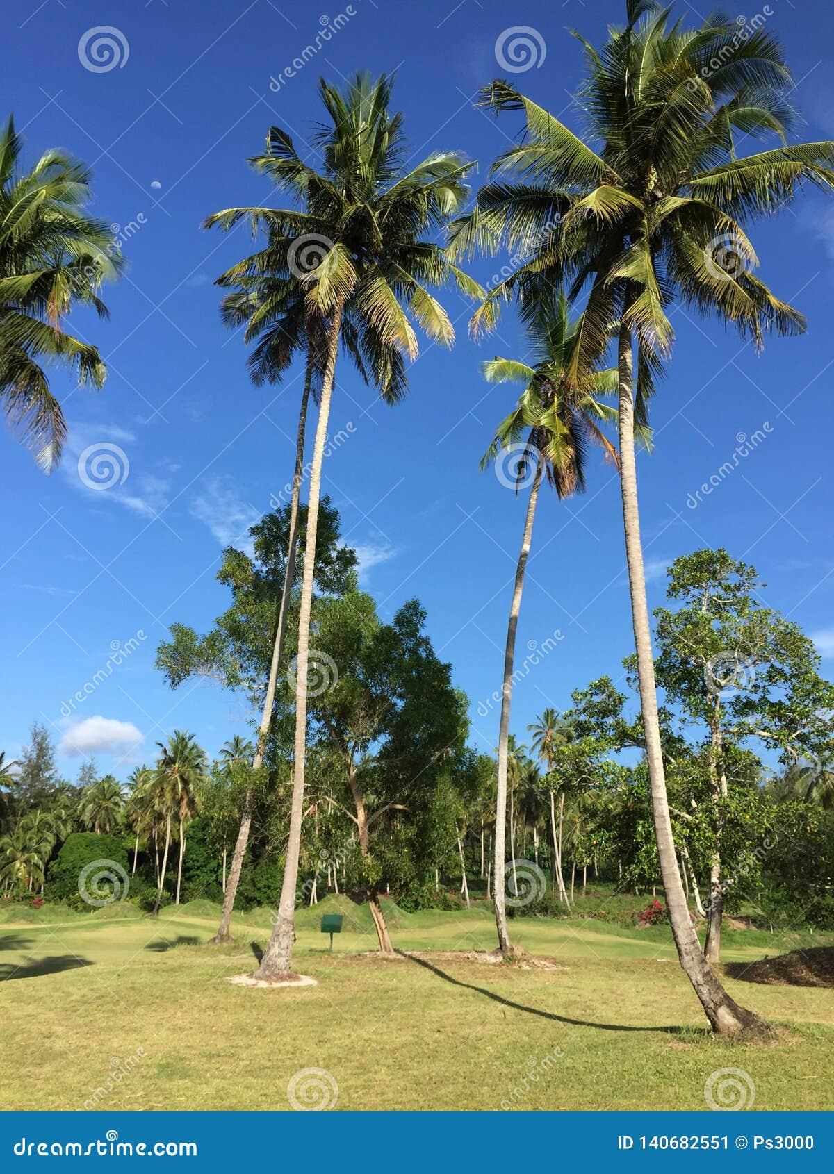 Afrykański pole golfowe z drzewkami palmowymi wykłada farwater