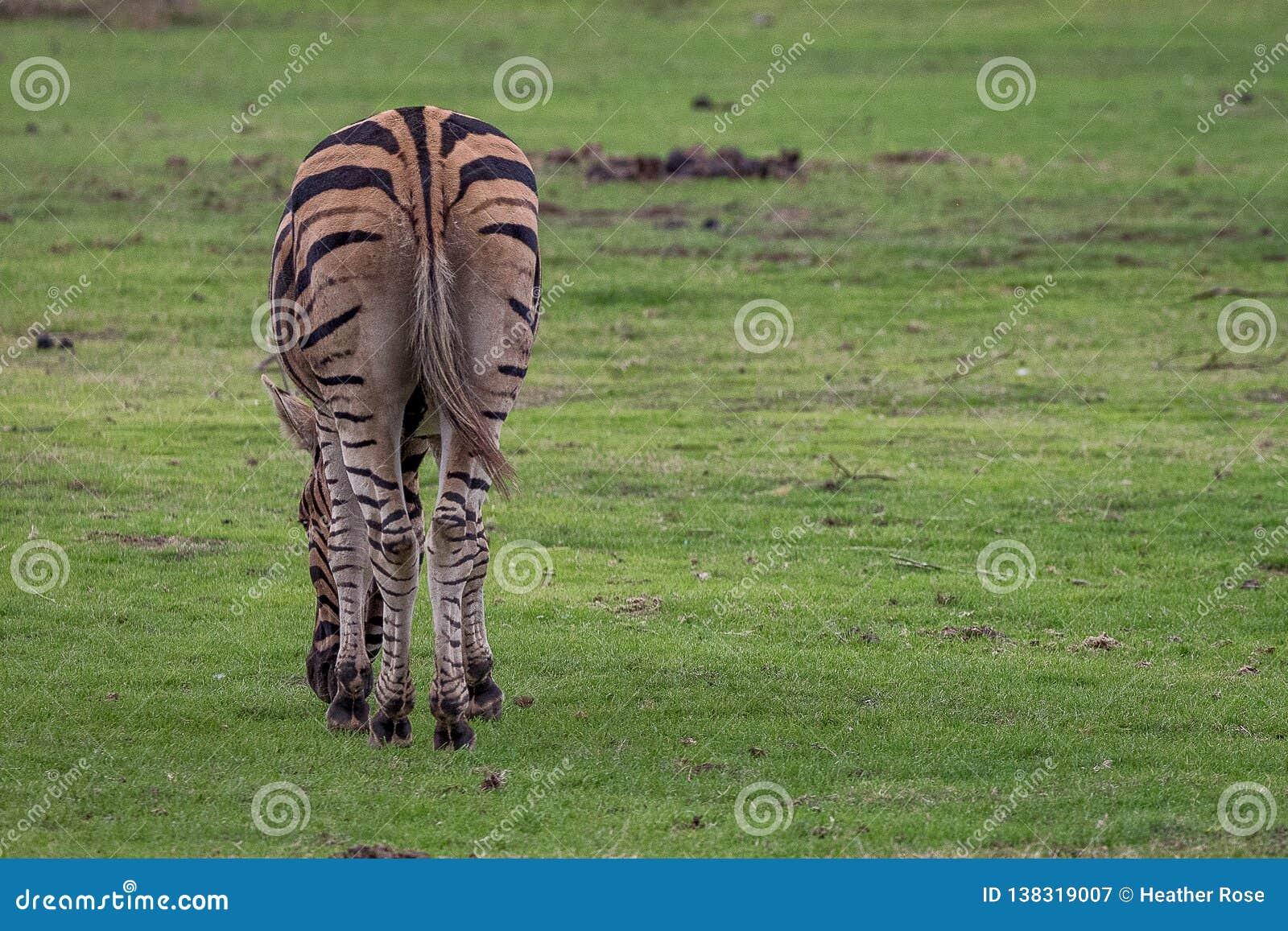Afrykańska równiny zebra od za