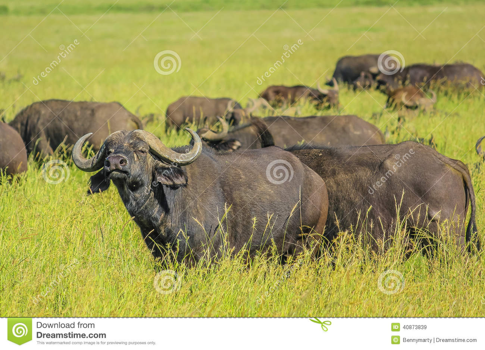Czarny kutas afrykański