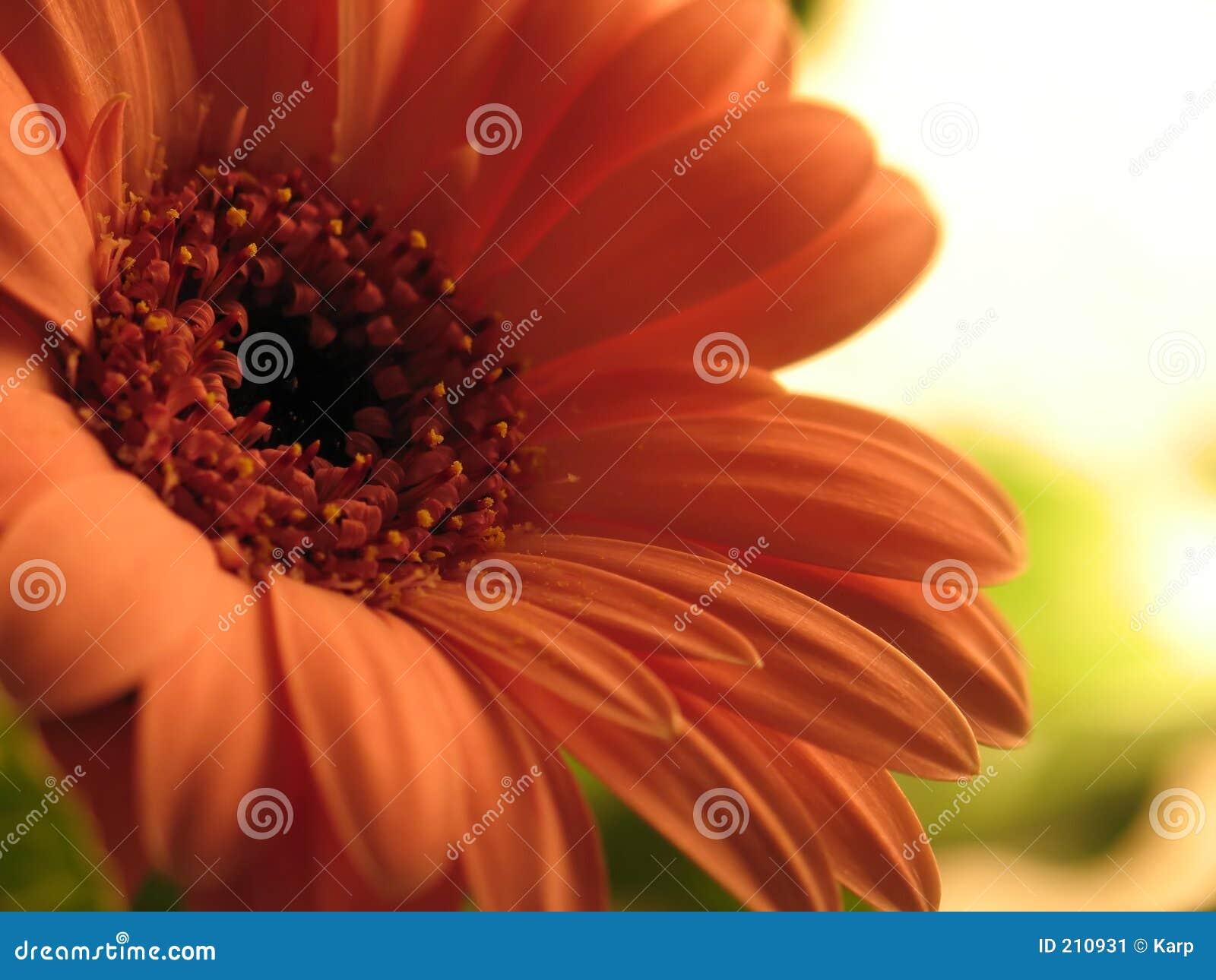 Afrykański daisy