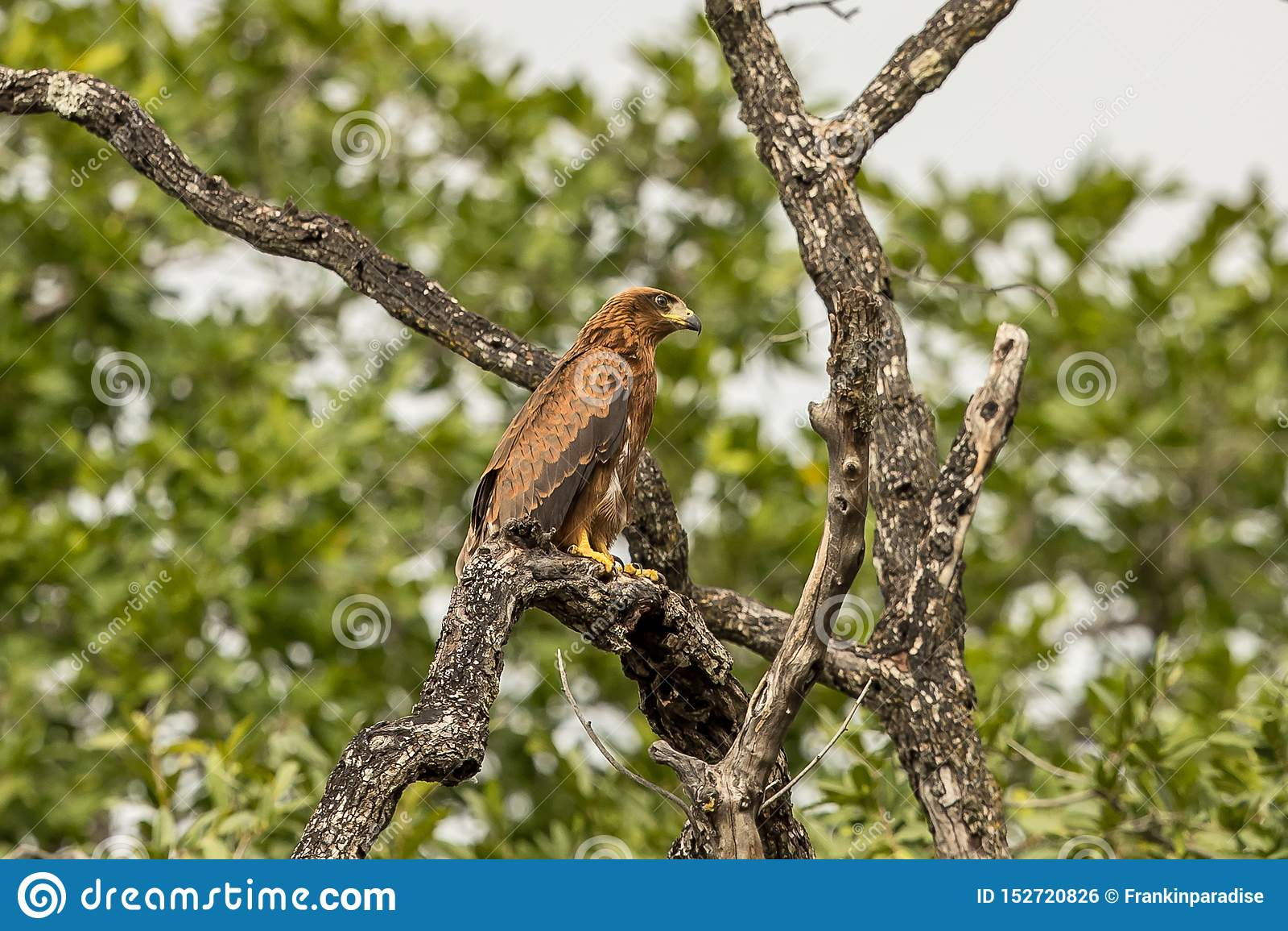 Afrykański jastrząb Eagle Botswana