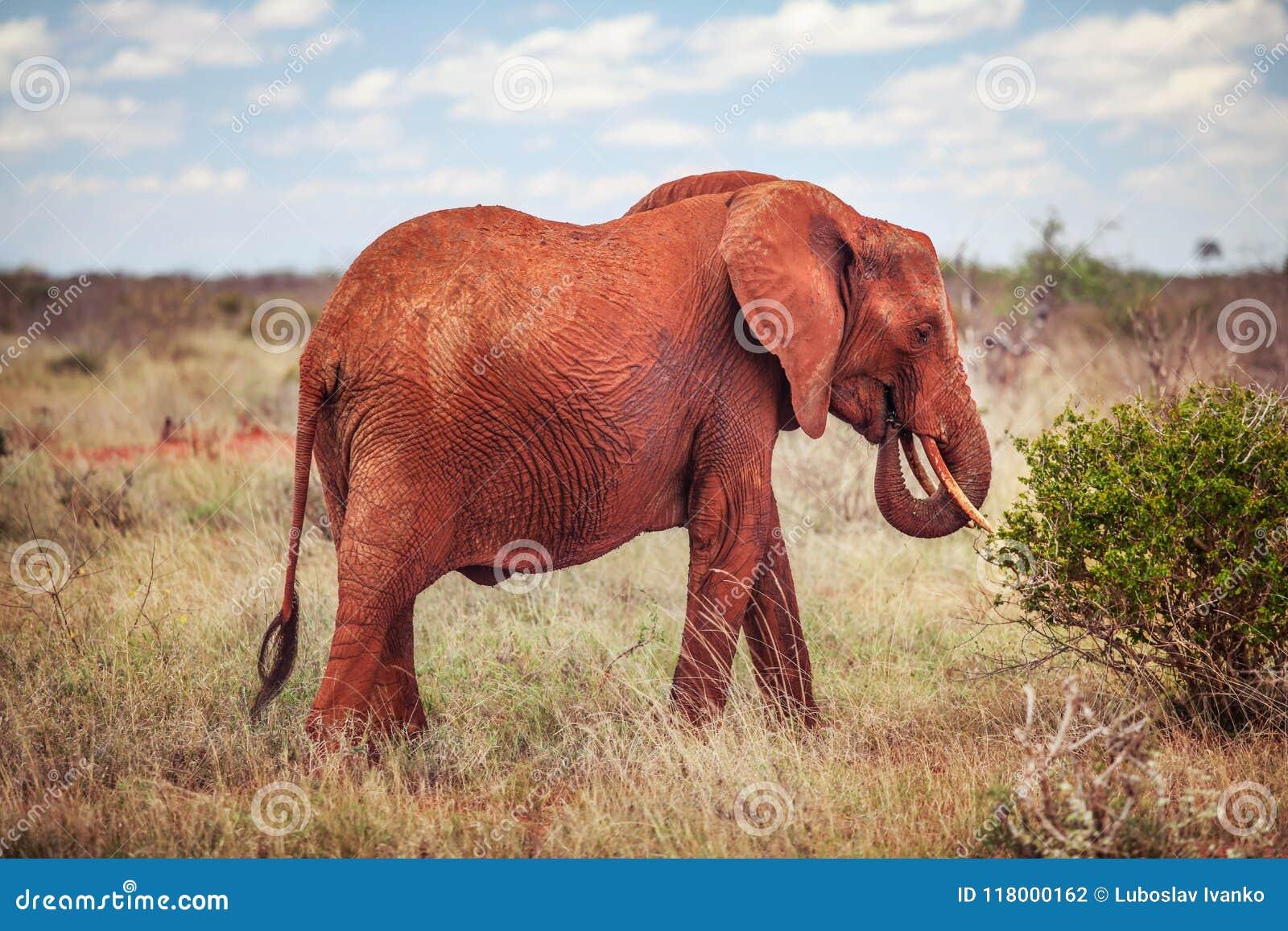 Afrykański krzaka słoń, loxodonta africana czerwień od pyłu feedin
