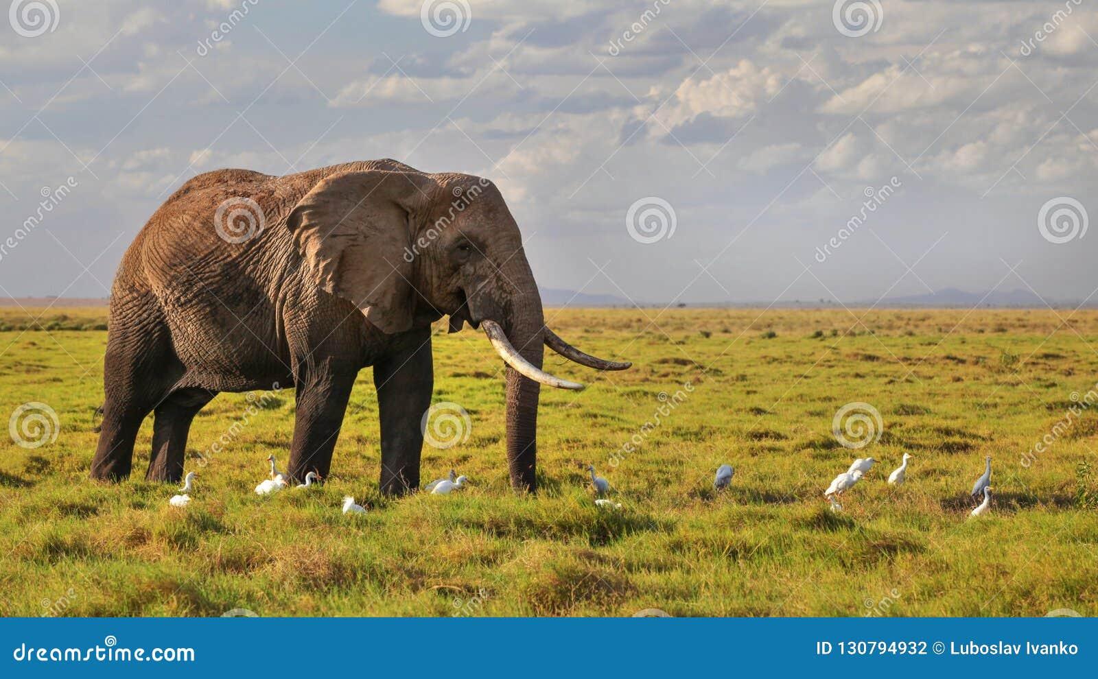 Afrykański krzaka słonia Loxodonta africana odprowadzenie na sawannowym li