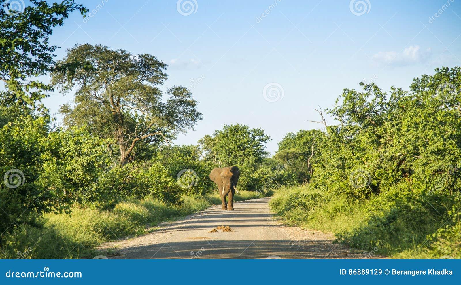 Afrykański krzaka słonia odprowadzenie na śladzie w krzaku w Kruger parku, Południowa Afryka