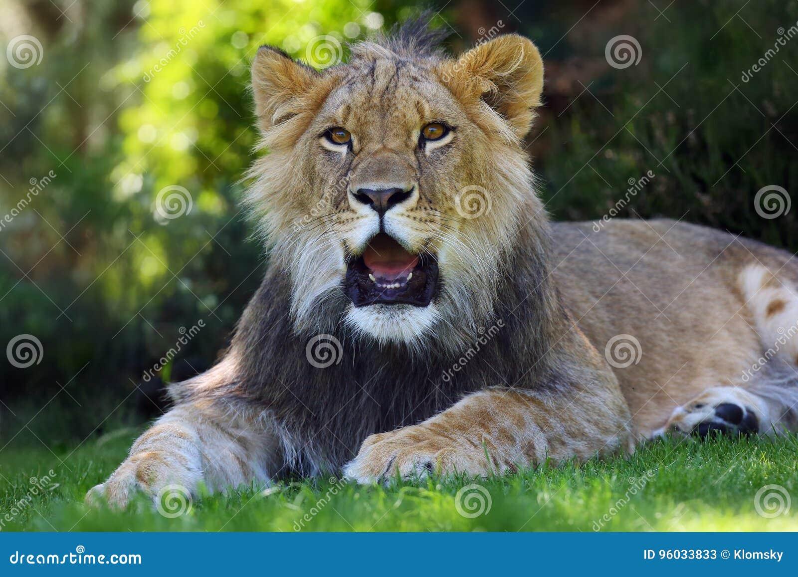 Afrykański lew, młoda samiec w trawie