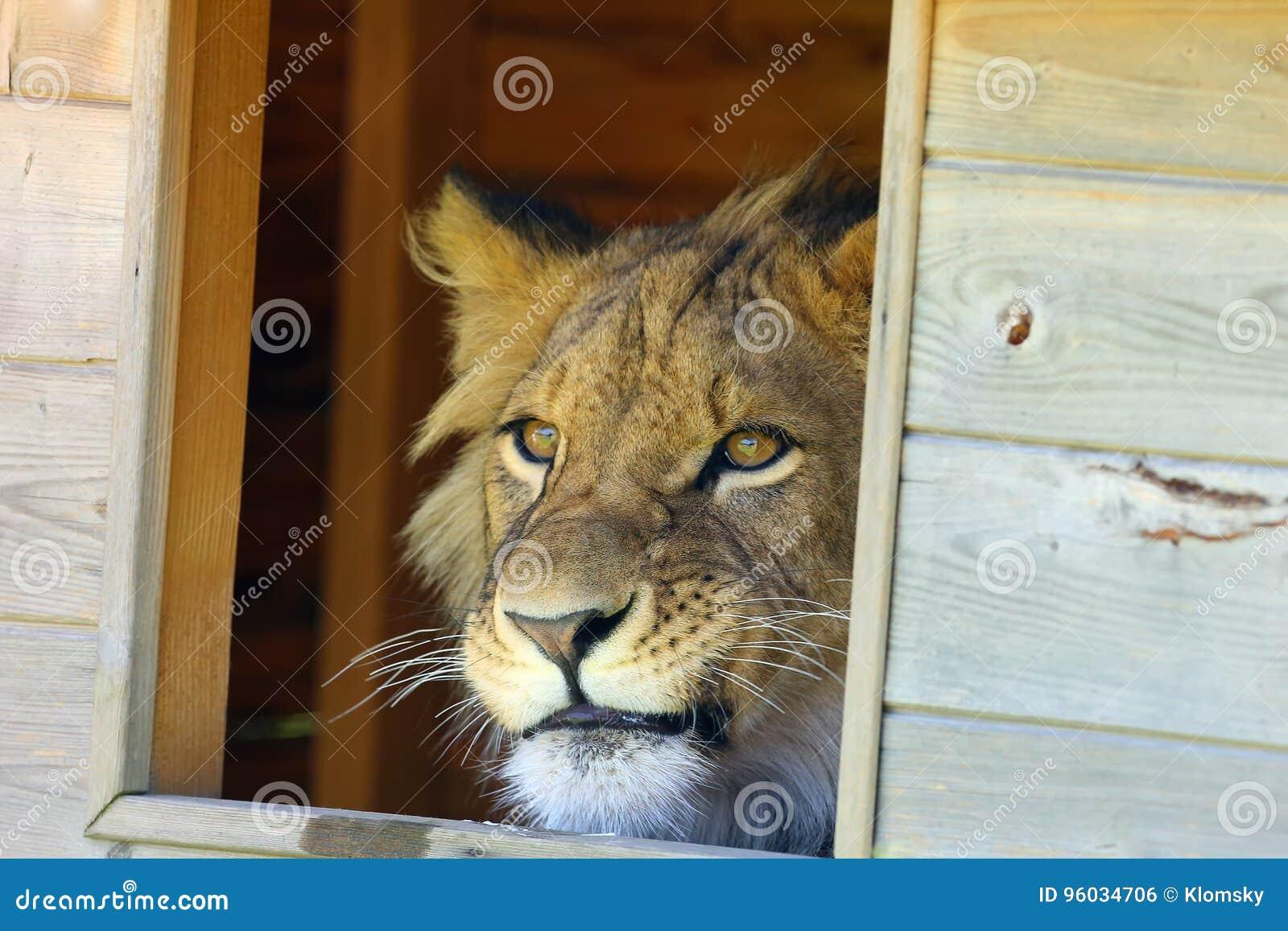 Afrykański lew & x28; Panthera leo& x29; w niewoli sąsiedztwa zegarkach przez okno